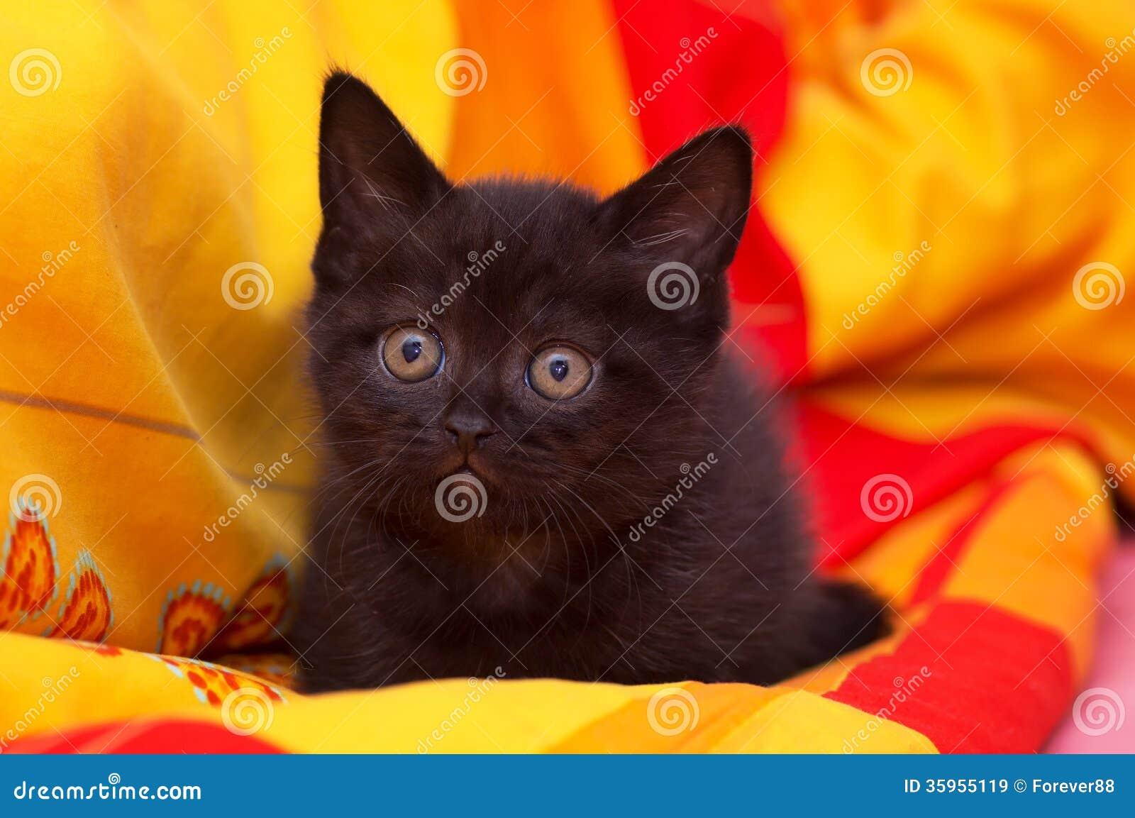Gato hermoso negro Escocés-recto