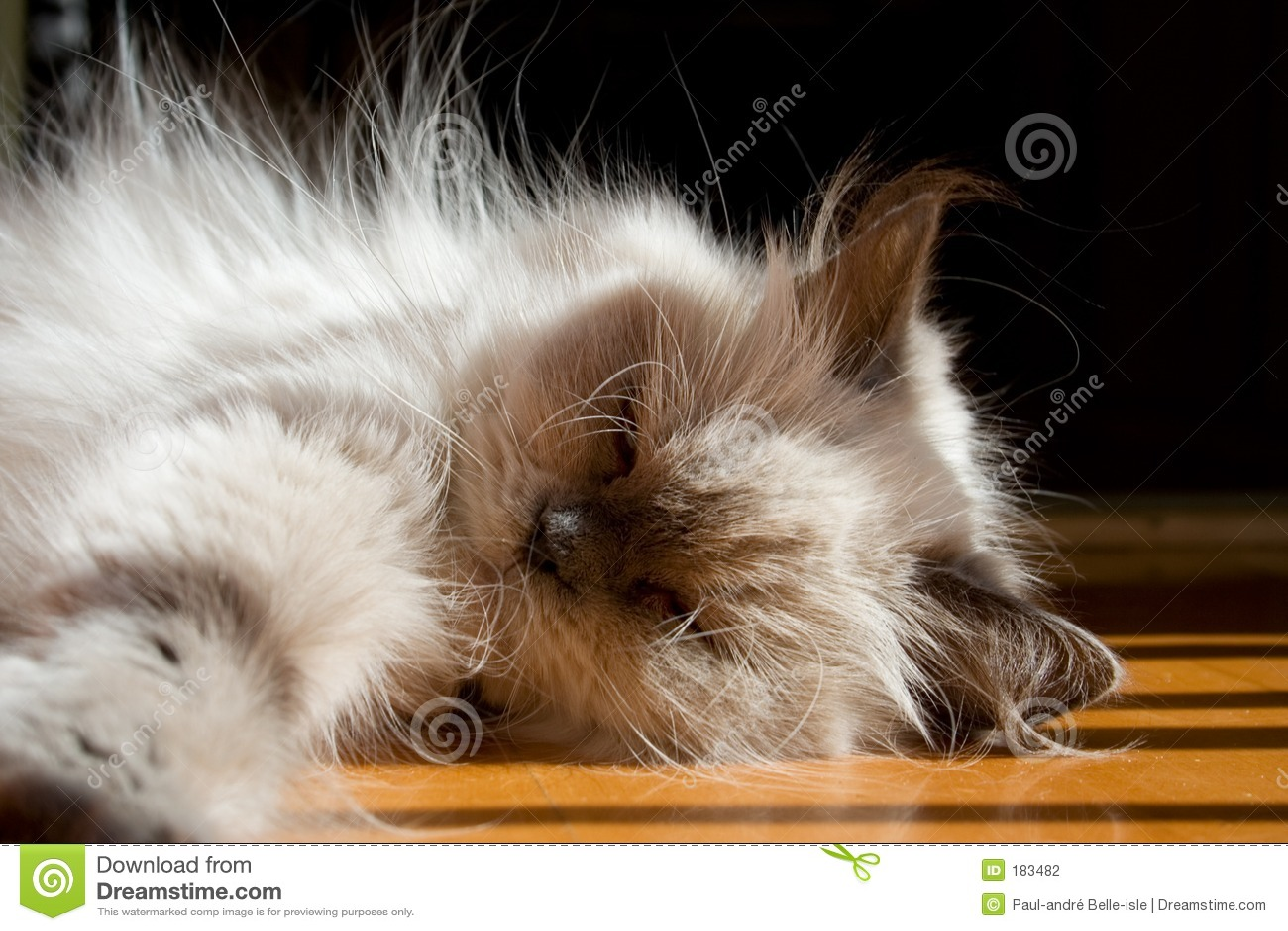 Gato himalayan de la punta azul