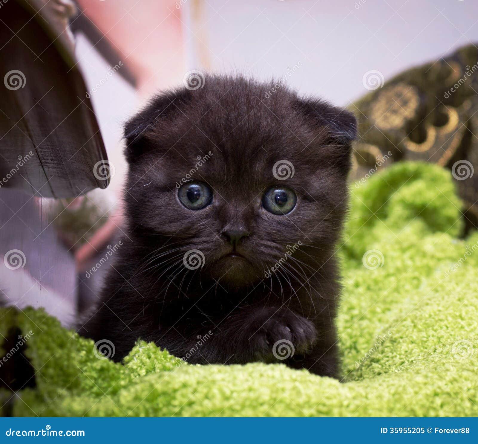 Gato joven escocés hermoso