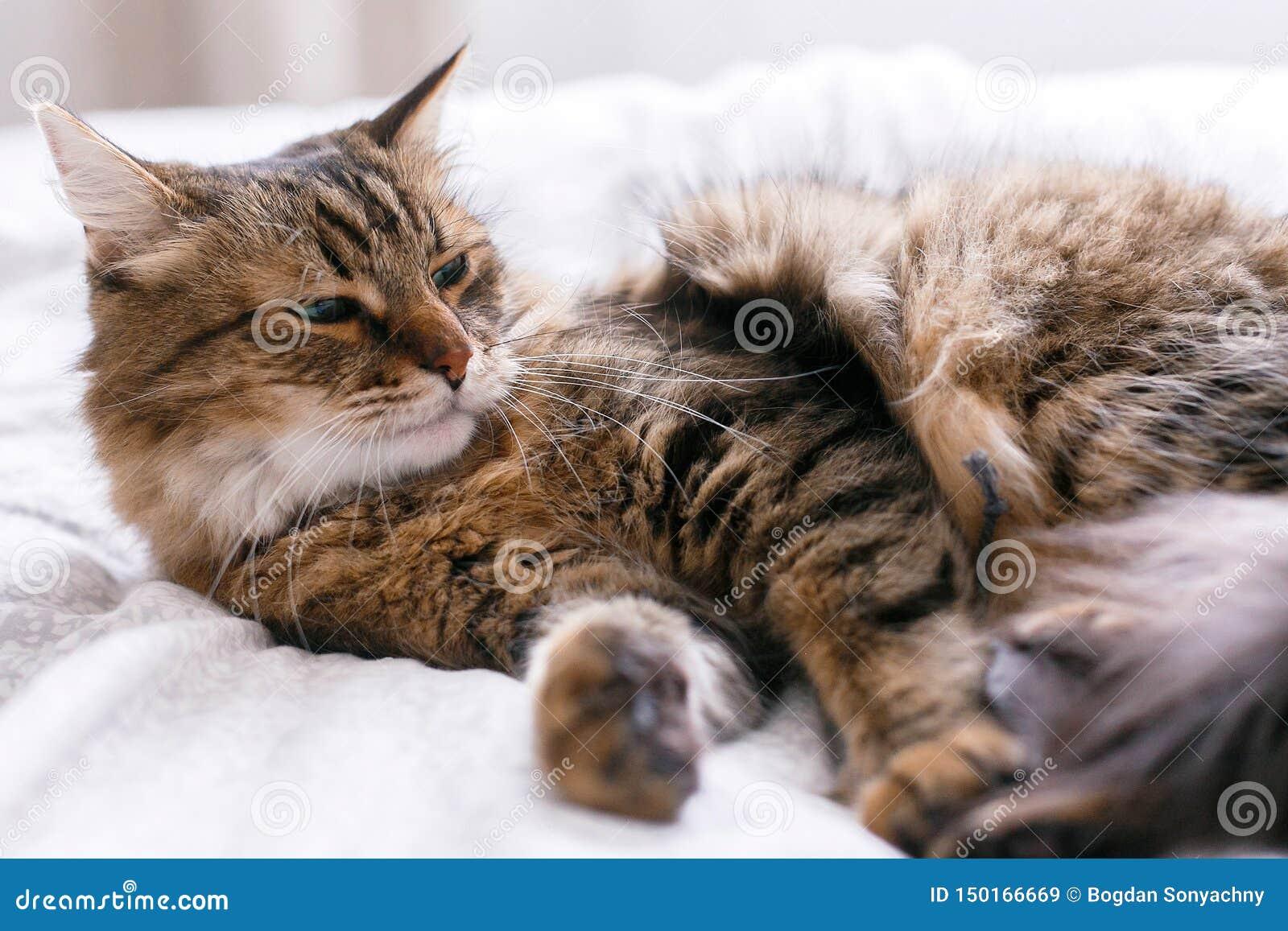 Gato lindo que juega con el juguete del ratón en la cama blanca en sitio elegante soleado Mapache de Maine con los ojos verdes qu