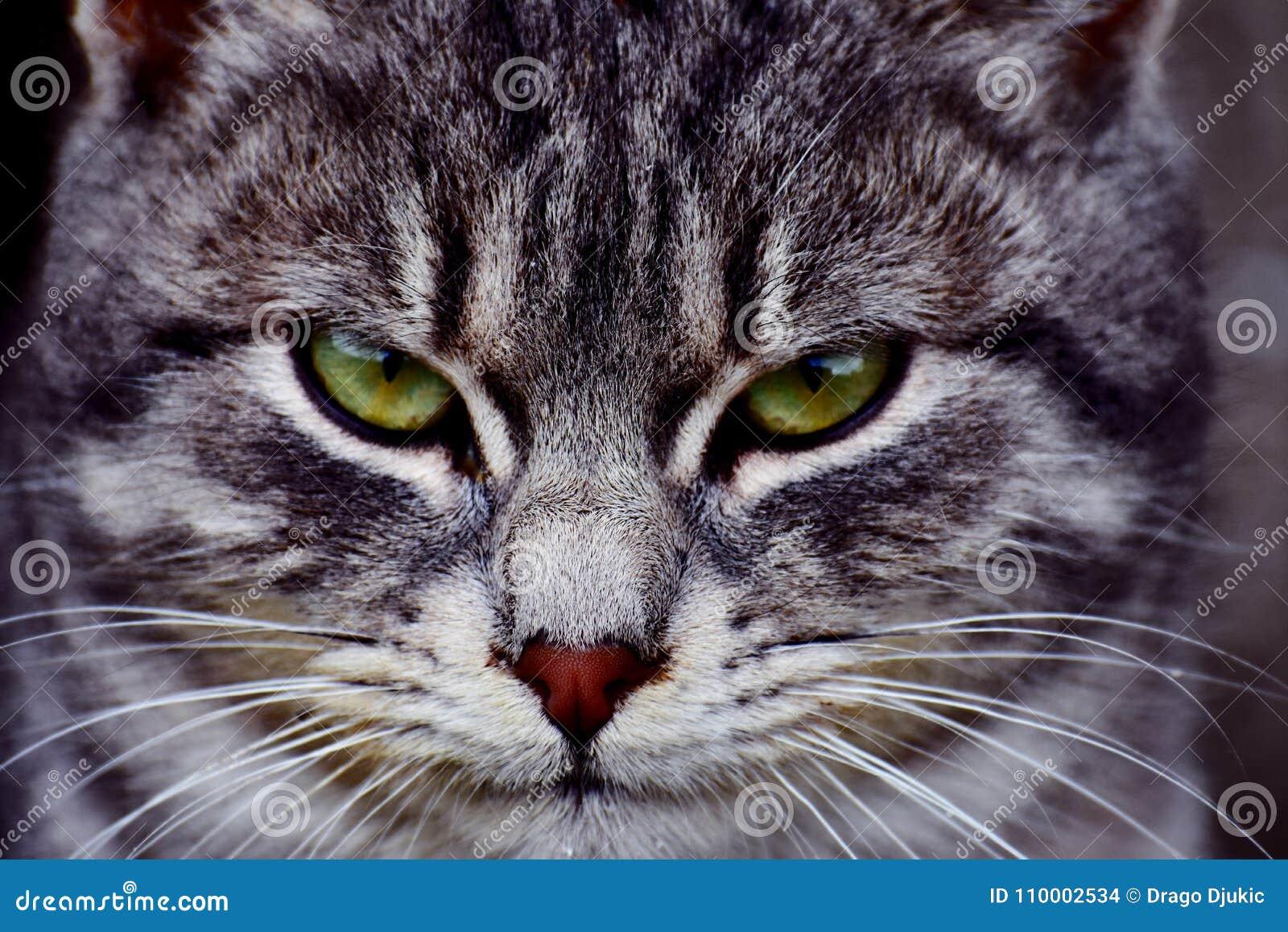 Gato listo para el ataque