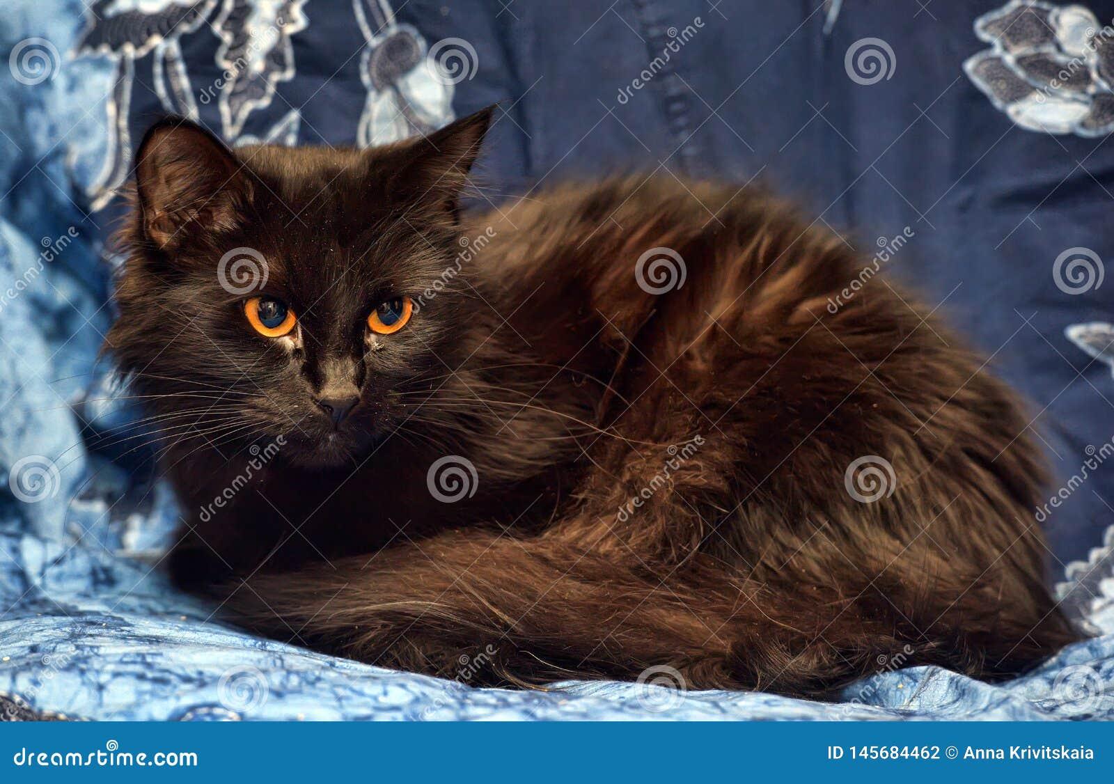 Gato macio preto com olhos amarelos