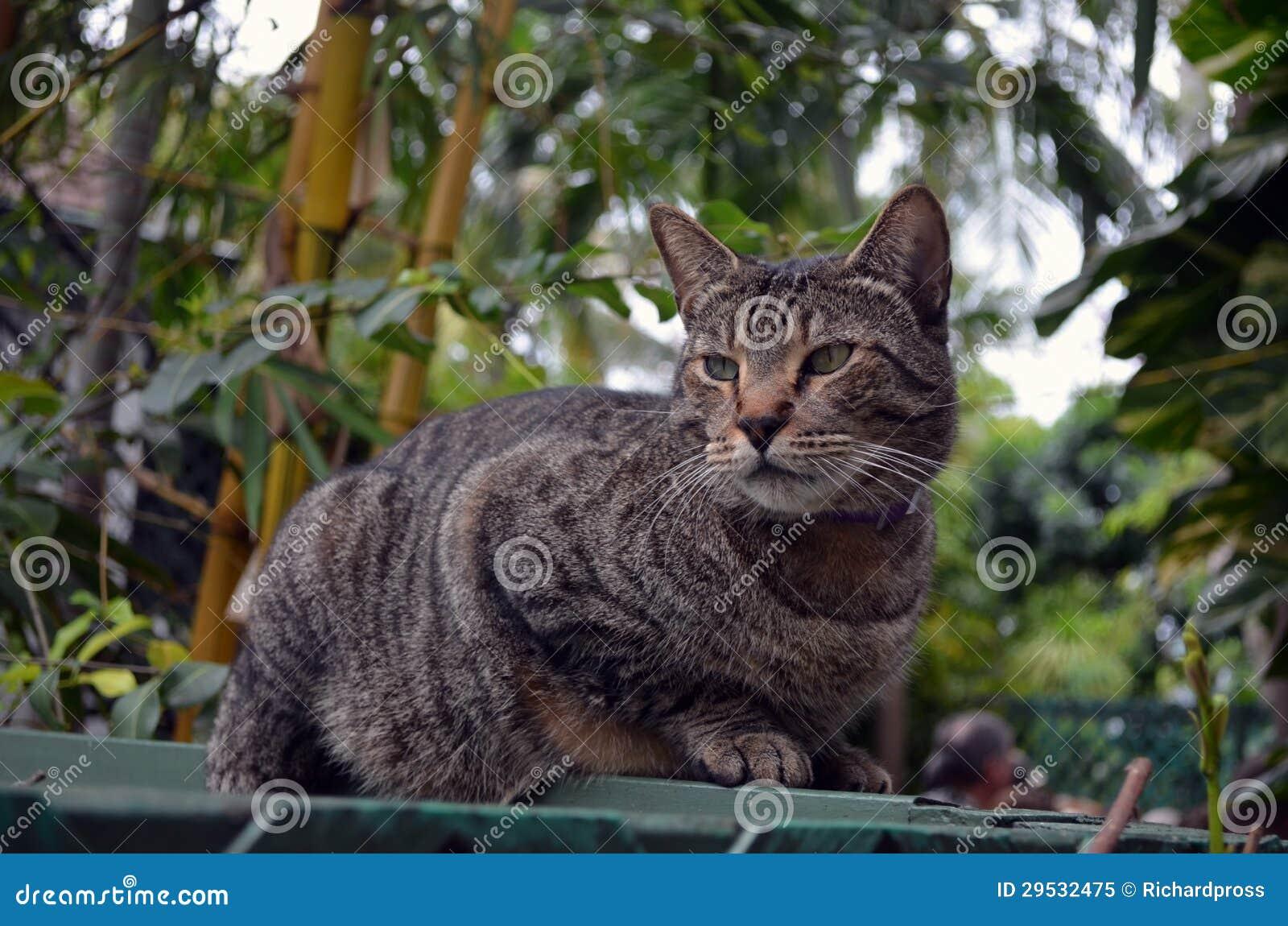 Gato malhado cinzento listrado com seis dedos do pé