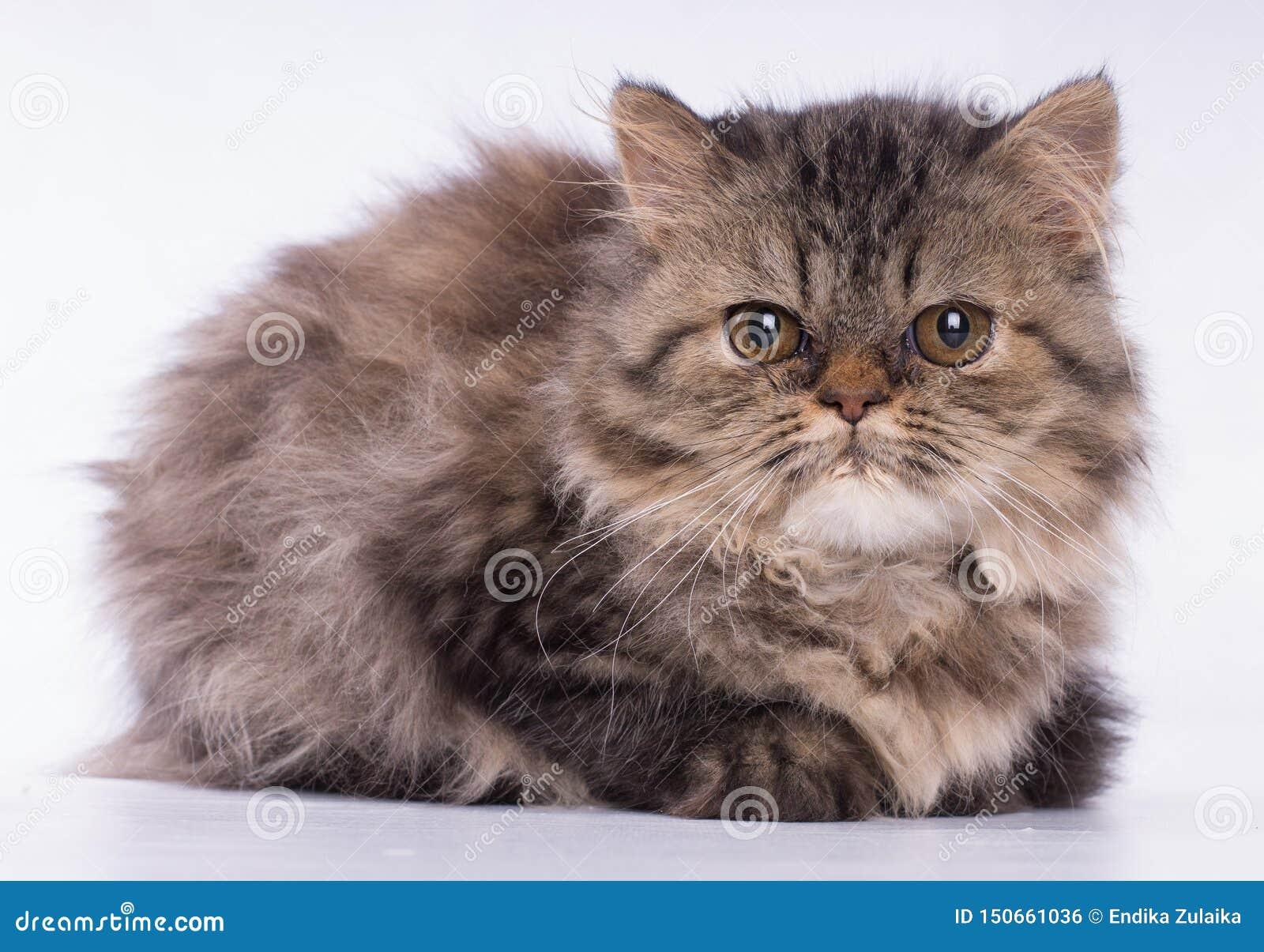 Gato marrón persa que mira la cámara aislada en el fondo blanco