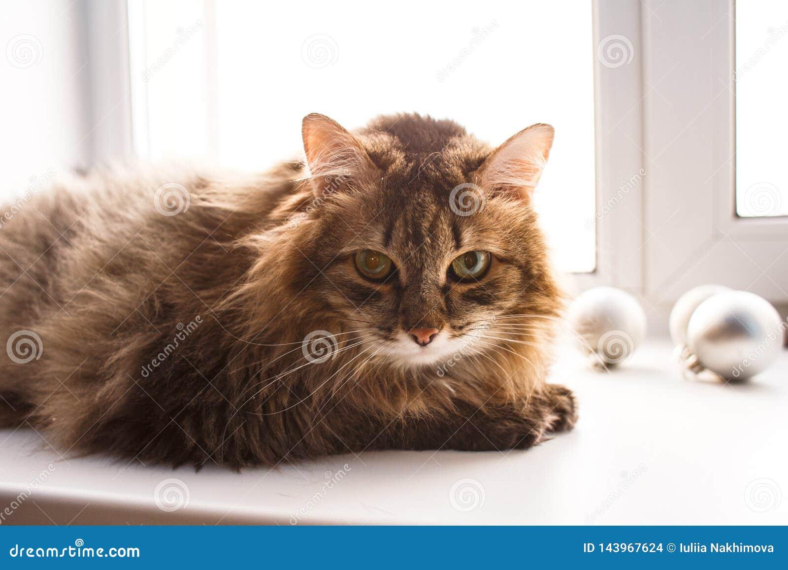 Gato marrom desgrenhado