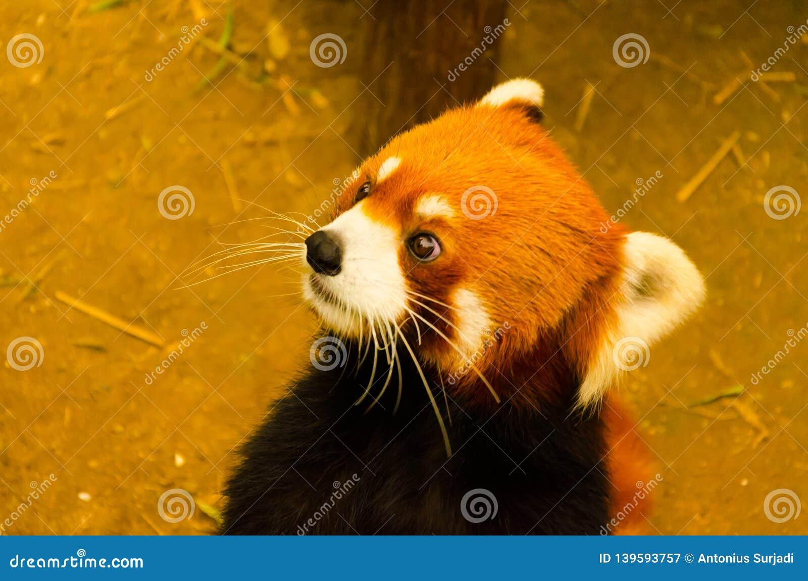 Gato marrom selvagem bonito no jardim zoológico