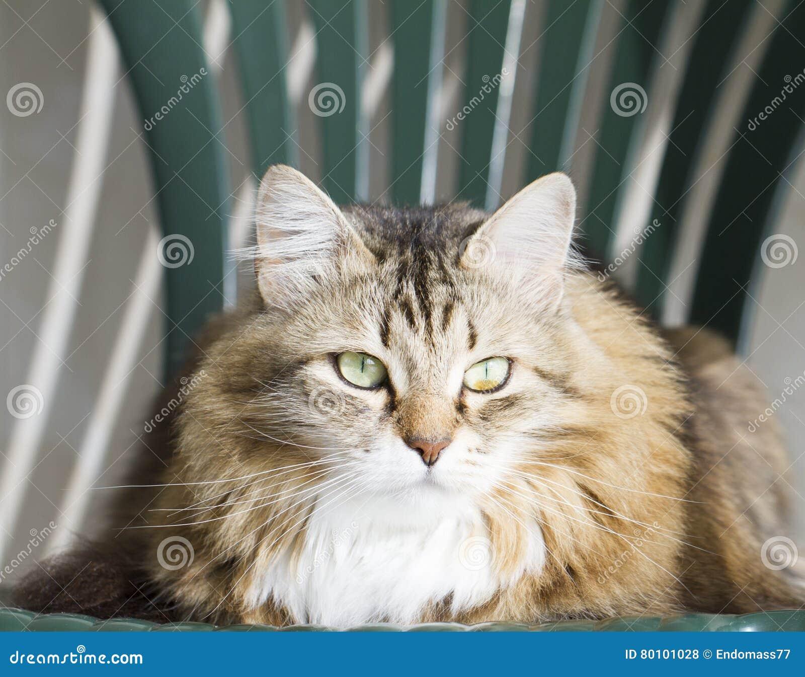 Gato marrom siberian doce na cadeira