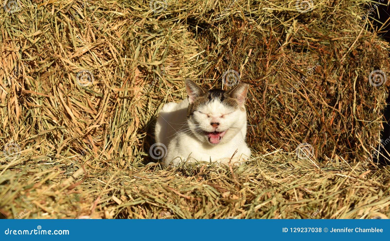 Gato miando que senta-se em pacotes de feno no celeiro