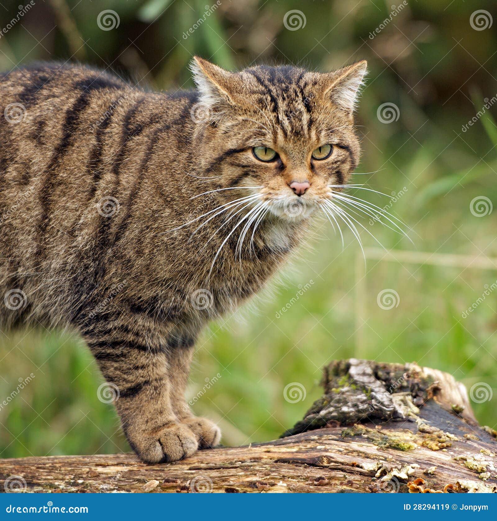 Gato montés escocés