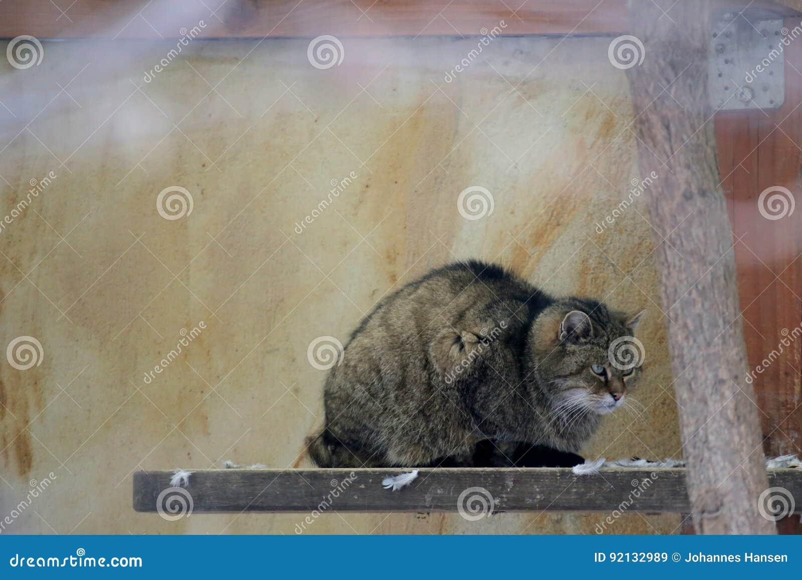 Gato montés europeo gruñón (silvestris de los silvestris del Felis) que se sienta en un tablero