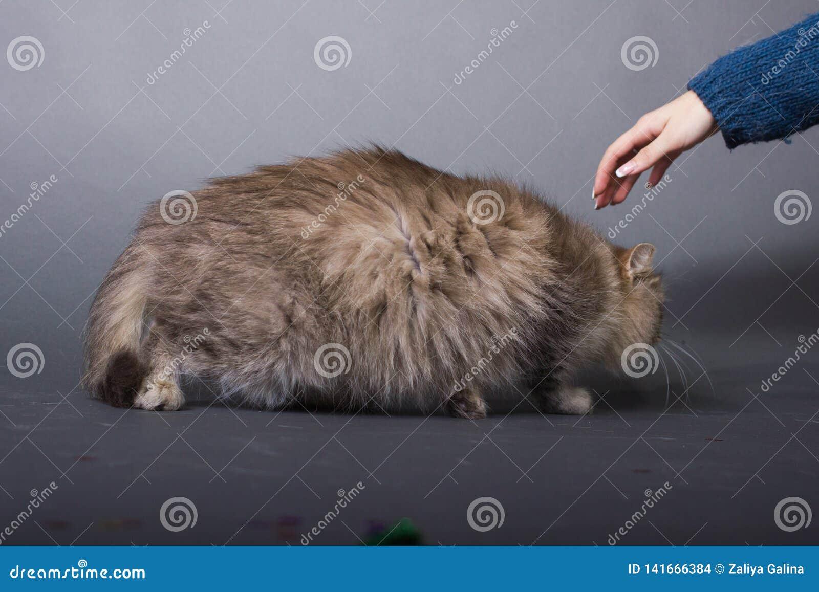 Gato mullido de Brown, mano de la mujer