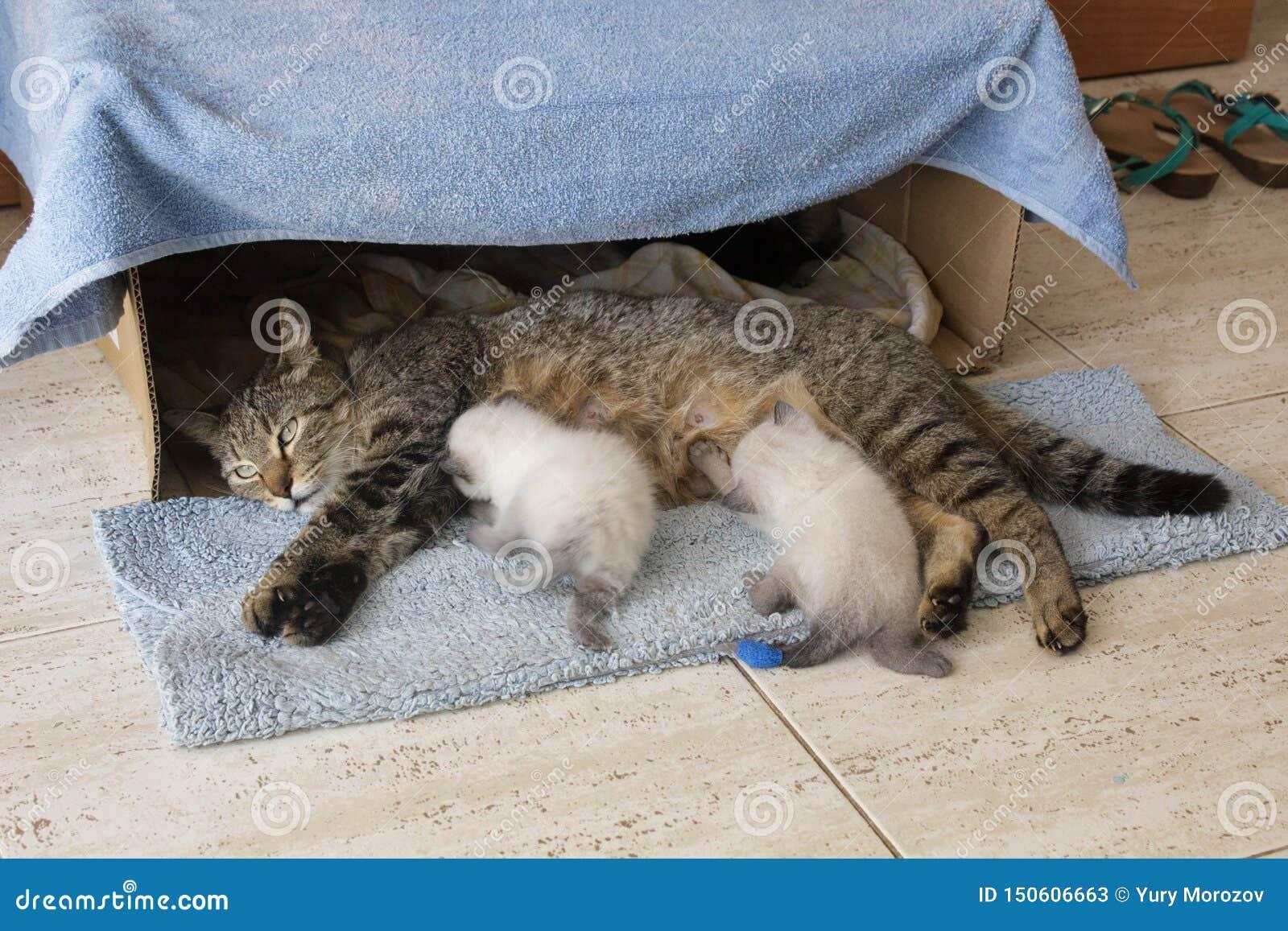 Gato nacional hermoso con los gatitos siameses recién nacidos recién nacidos de los gatitos que duermen en la caja de la casa del