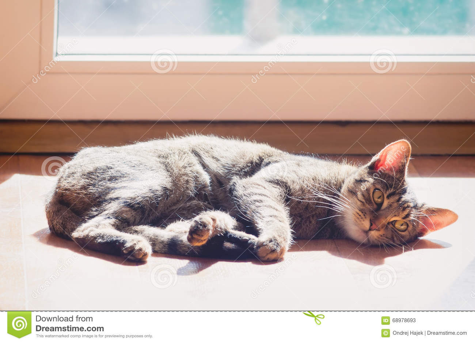 Gato nacional perezoso