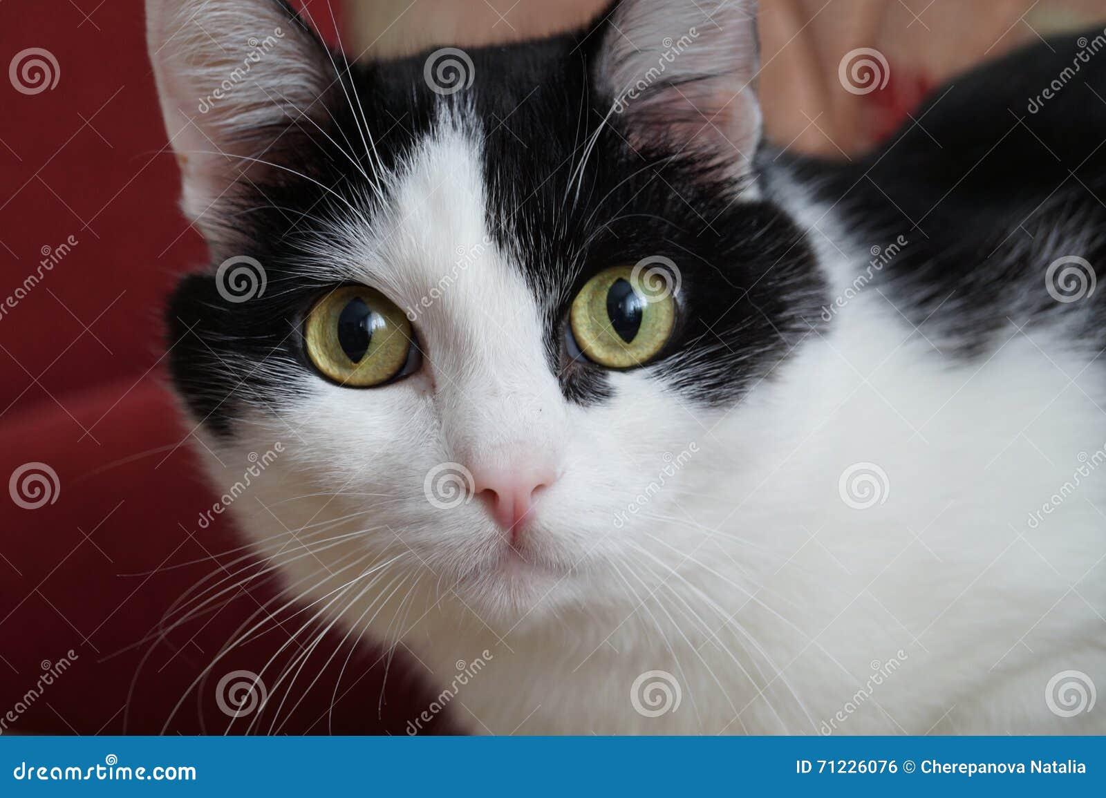 Gato Negro-blanco Foto De Archivo. Imagen De Gatos, Ojos