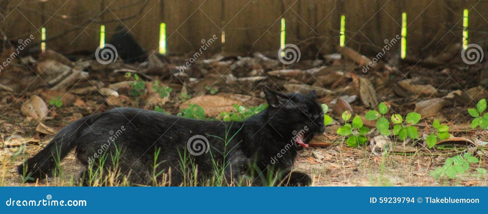 Gato negro - bostezos