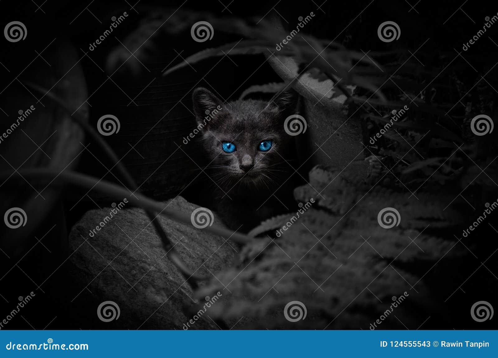 Gato negro con los ojos azules hermosos