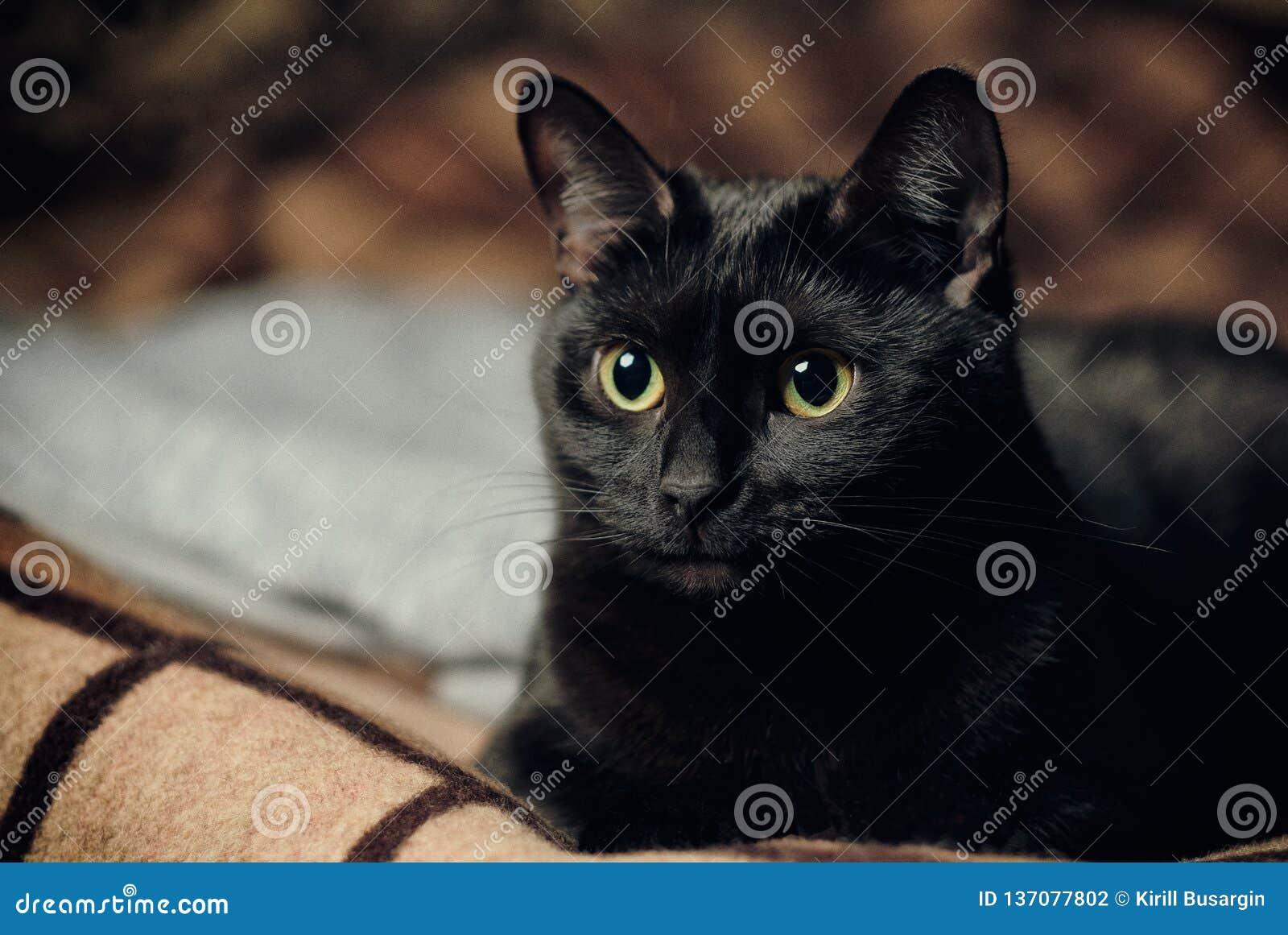 Gato negro del empollamiento