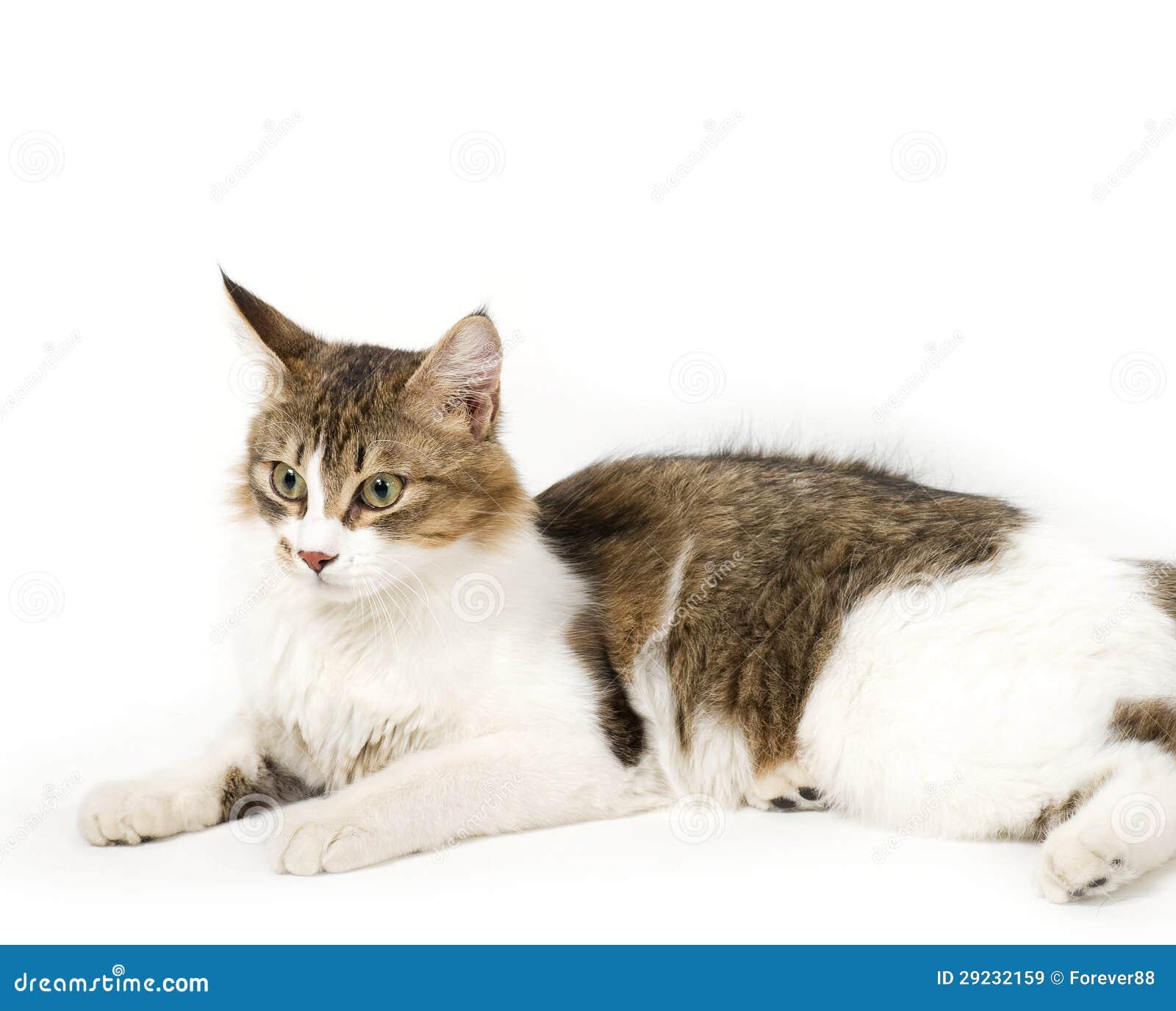 Download Gato novo bonito imagem de stock. Imagem de pedigreed - 29232159