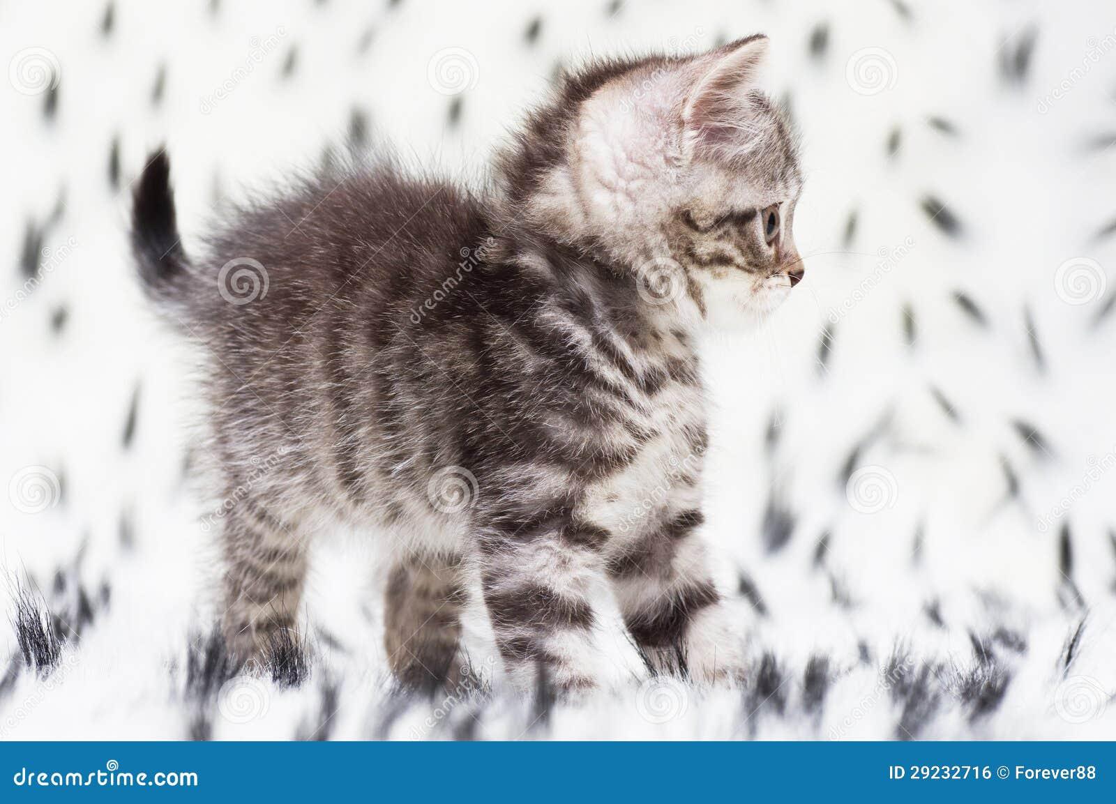 Download Gato novo escocês bonito foto de stock. Imagem de charming - 29232716