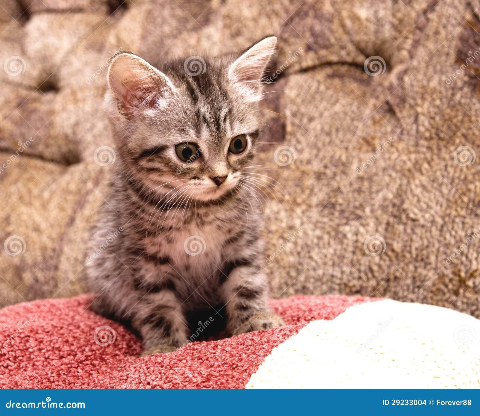 Download Gato novo escocês bonito foto de stock. Imagem de purebred - 29233004