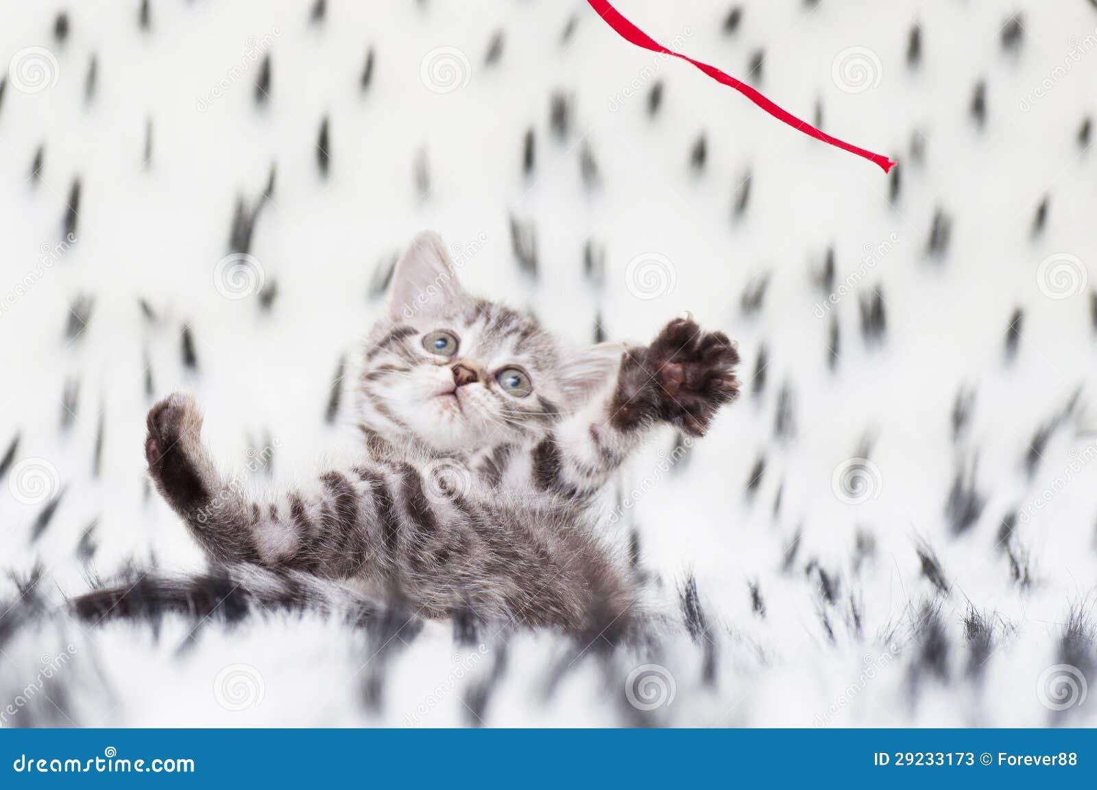 Download Gato novo escocês bonito imagem de stock. Imagem de saudável - 29233173