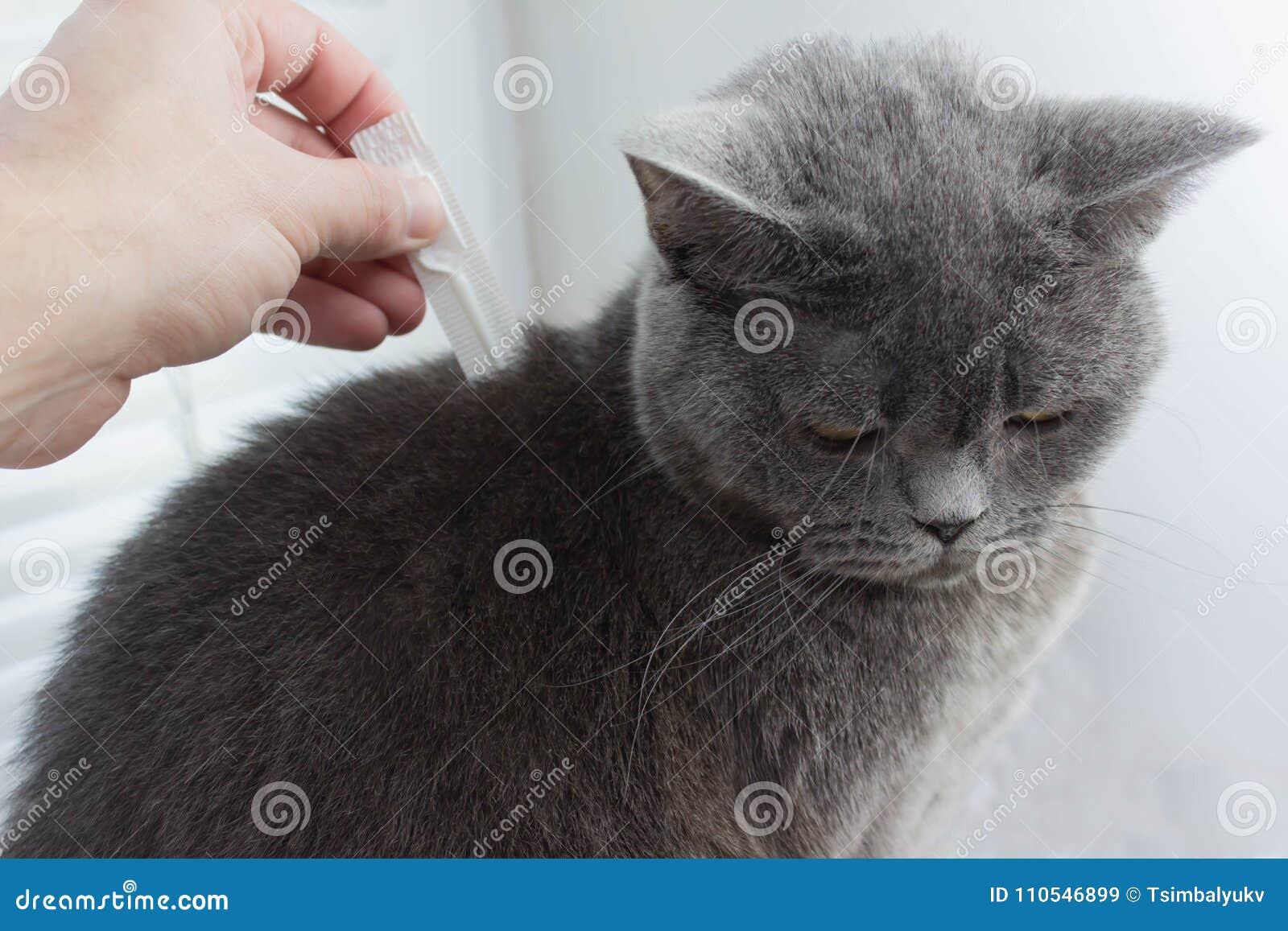 Gato perdido del pelo porque consiga la señal en los oídos