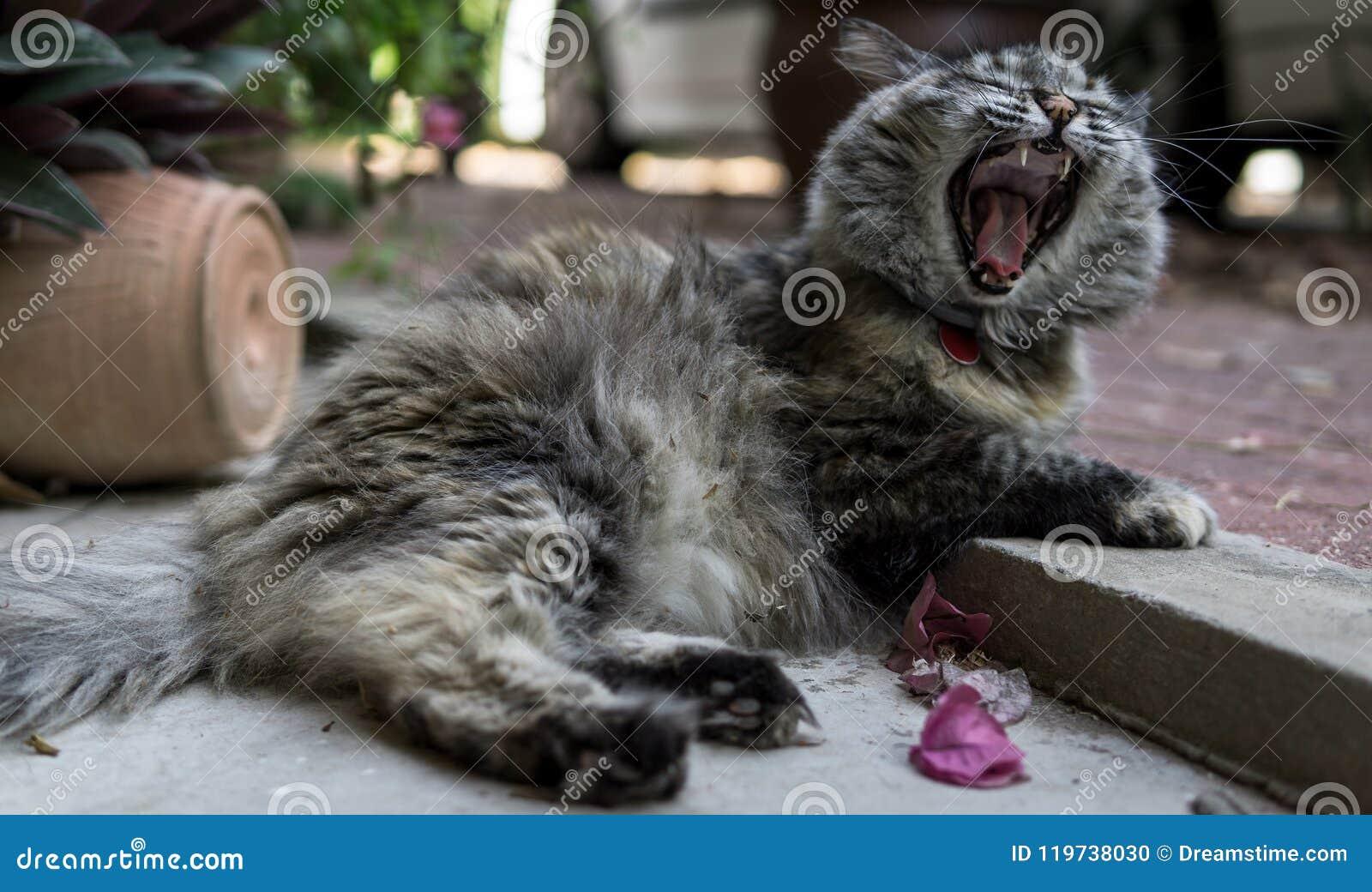 Gato Perisan-tricolor que boceja