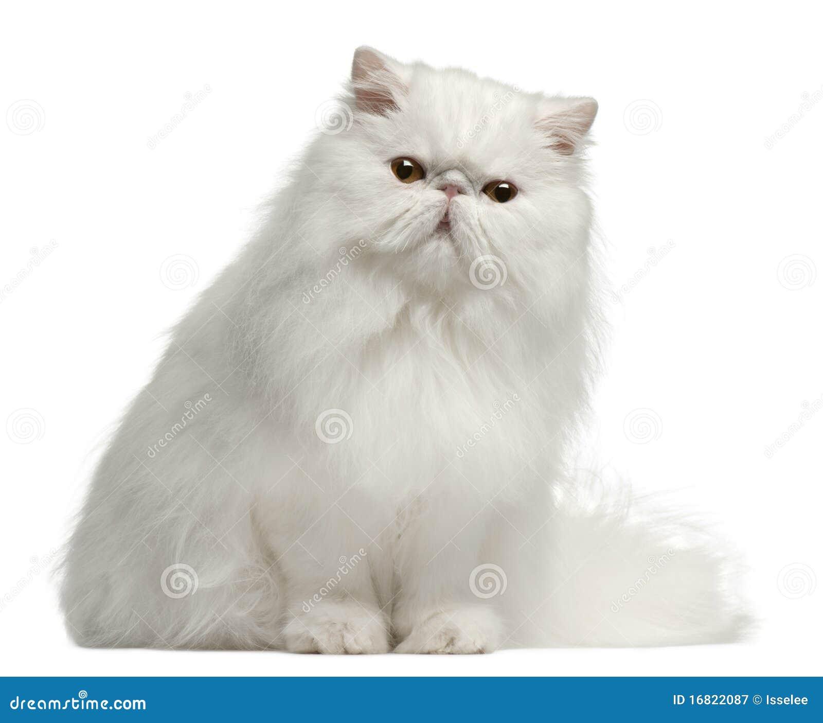 Gato persa, 8 meses, sentándose