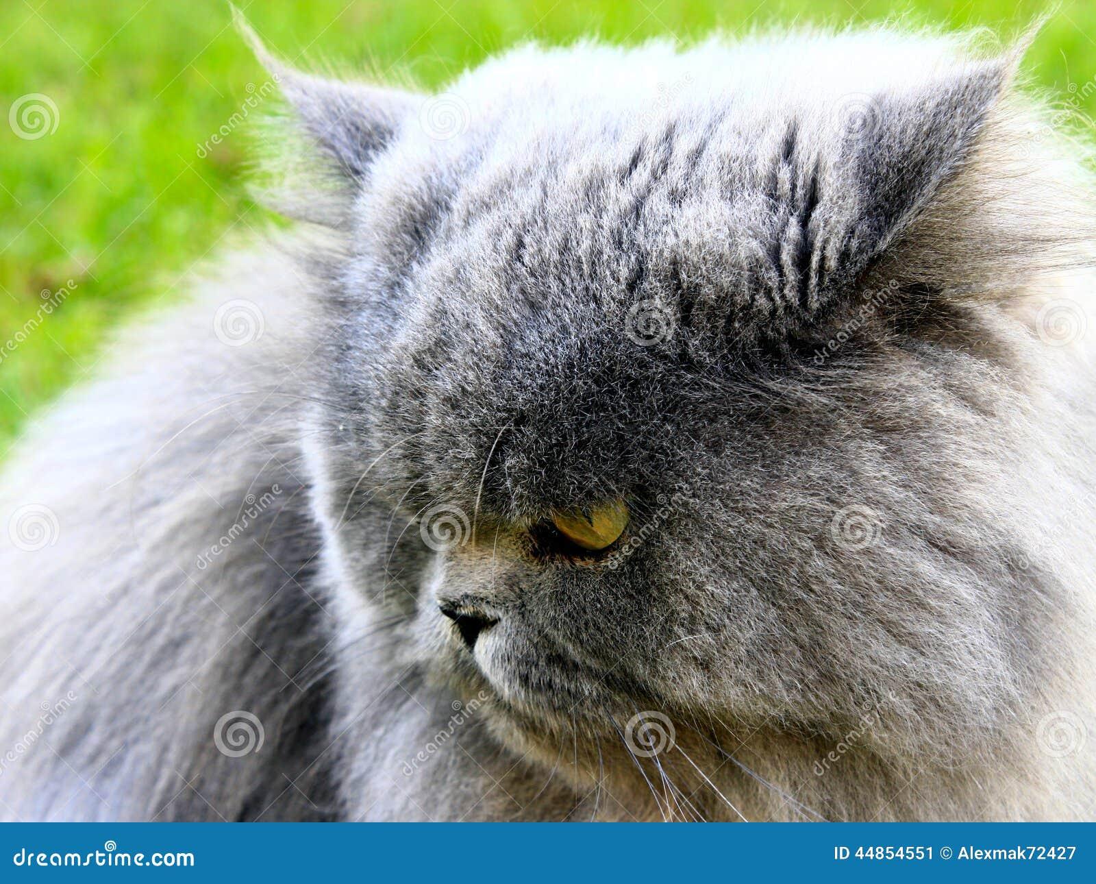 Gato persa agradable