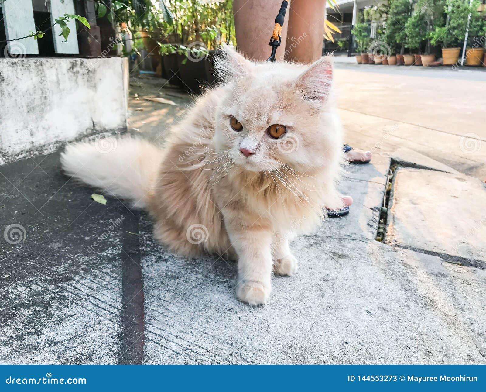 Gato persa alaranjado engraçado bonito na estrada concreta para andar com proprietário
