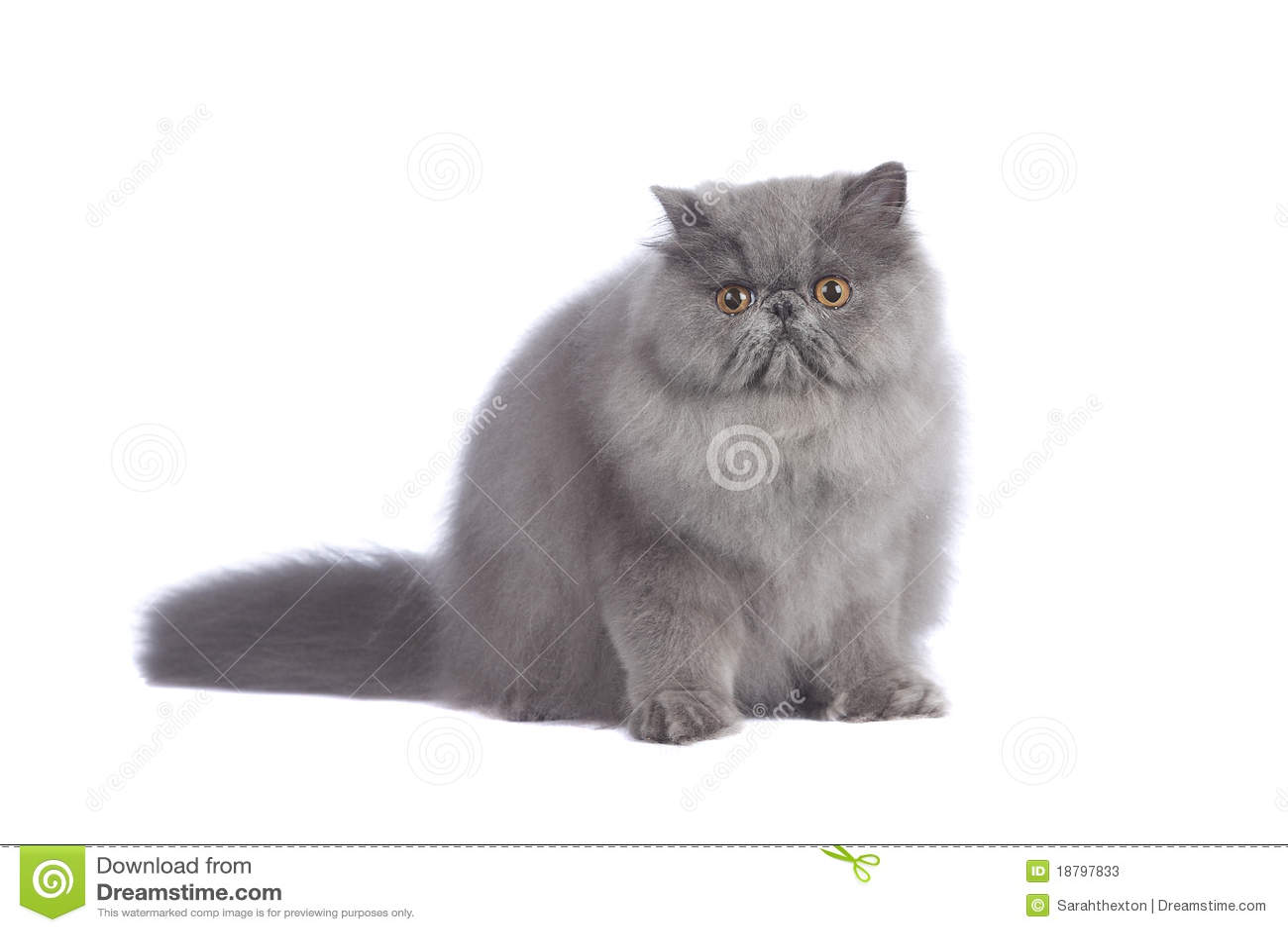 Gato persa azul en estudio