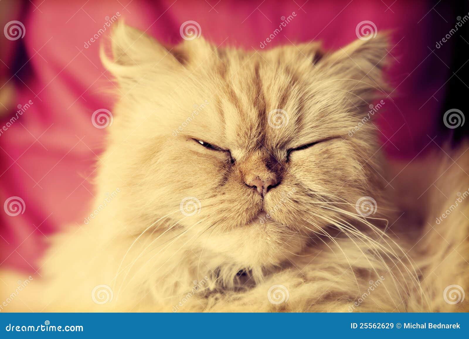 Gato persa bonito que olha relaxado
