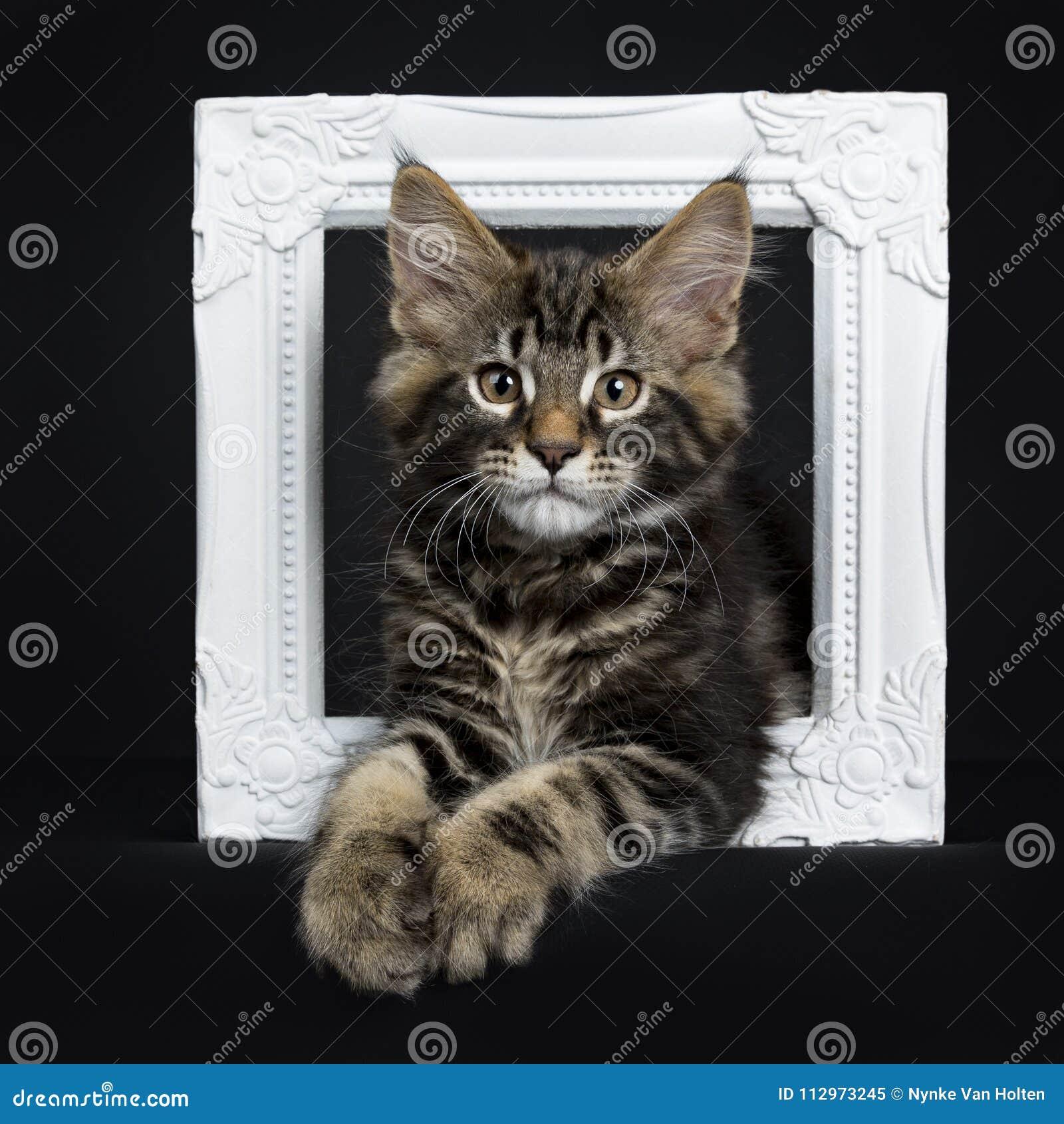 Gato preto considerável de Maine Coon do gato malhado