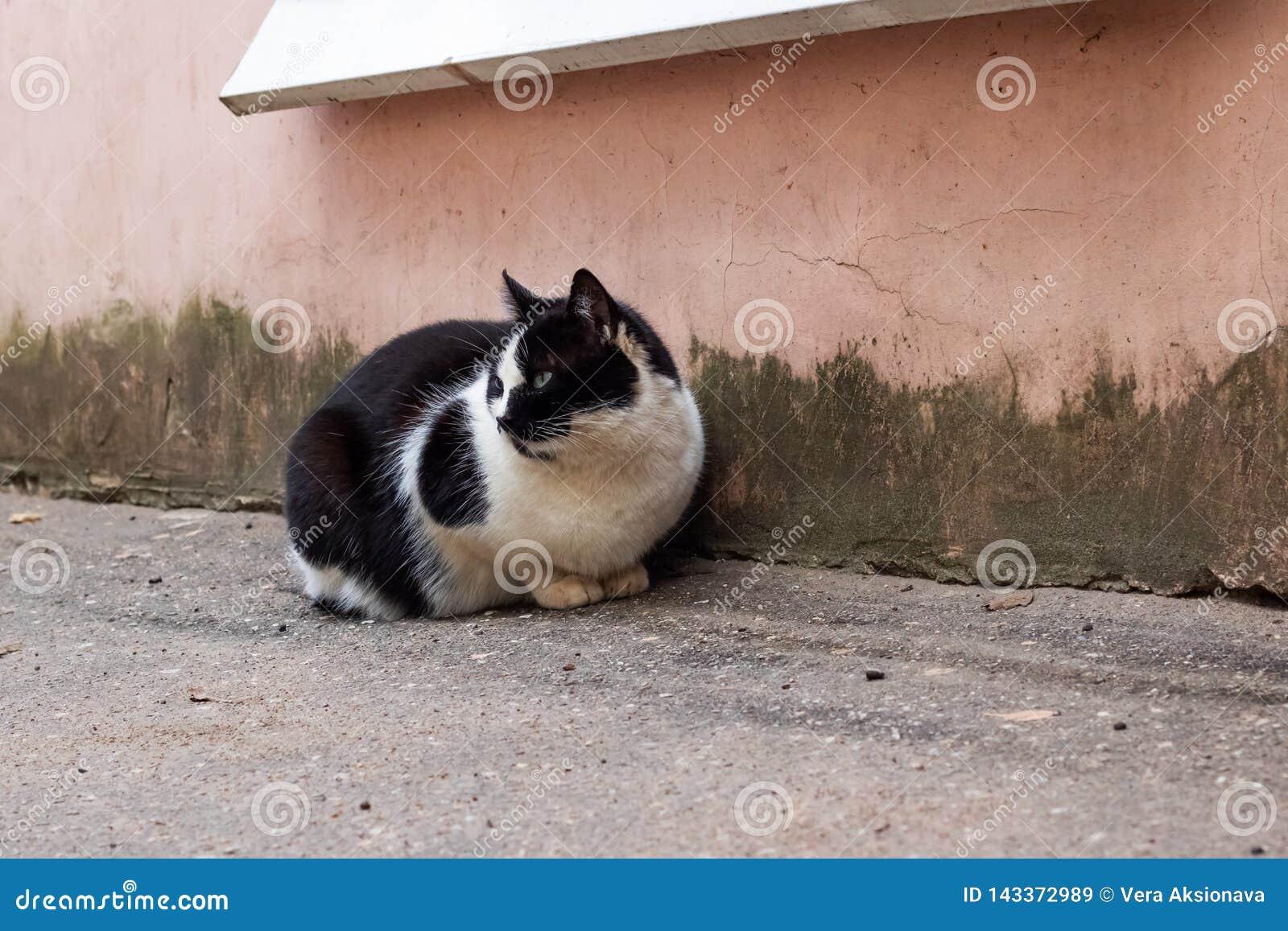 Gato preto desabrigado com assento branco do peito