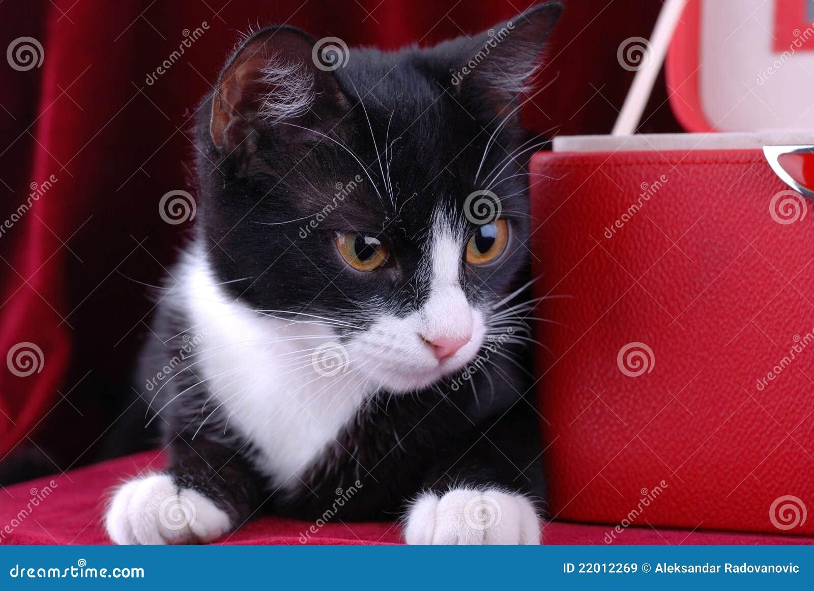 Gato preto e branco imagem de stock. Imagem de pouco