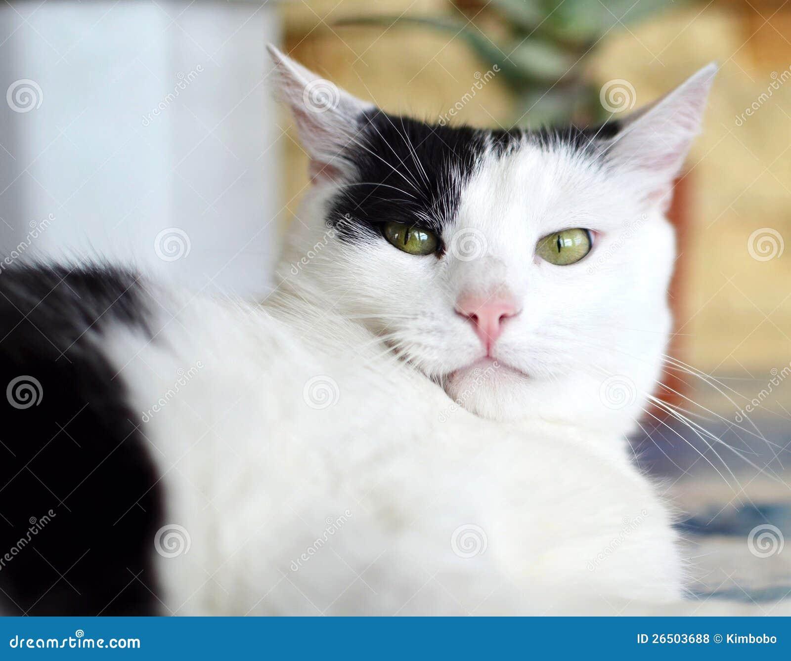 Gato preto e branco irritado