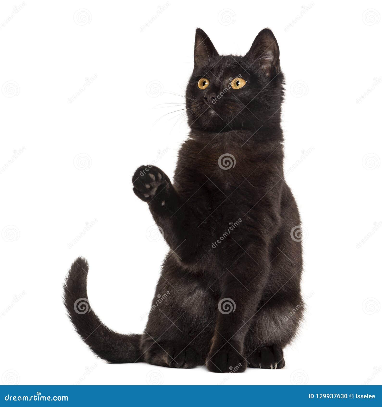 Gato preto que pawing na frente de um fundo branco