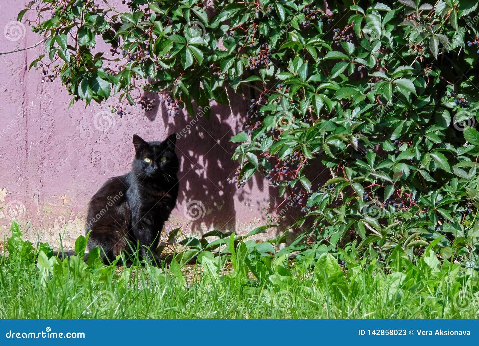 Gato preto que senta-se sob um arbusto no verão