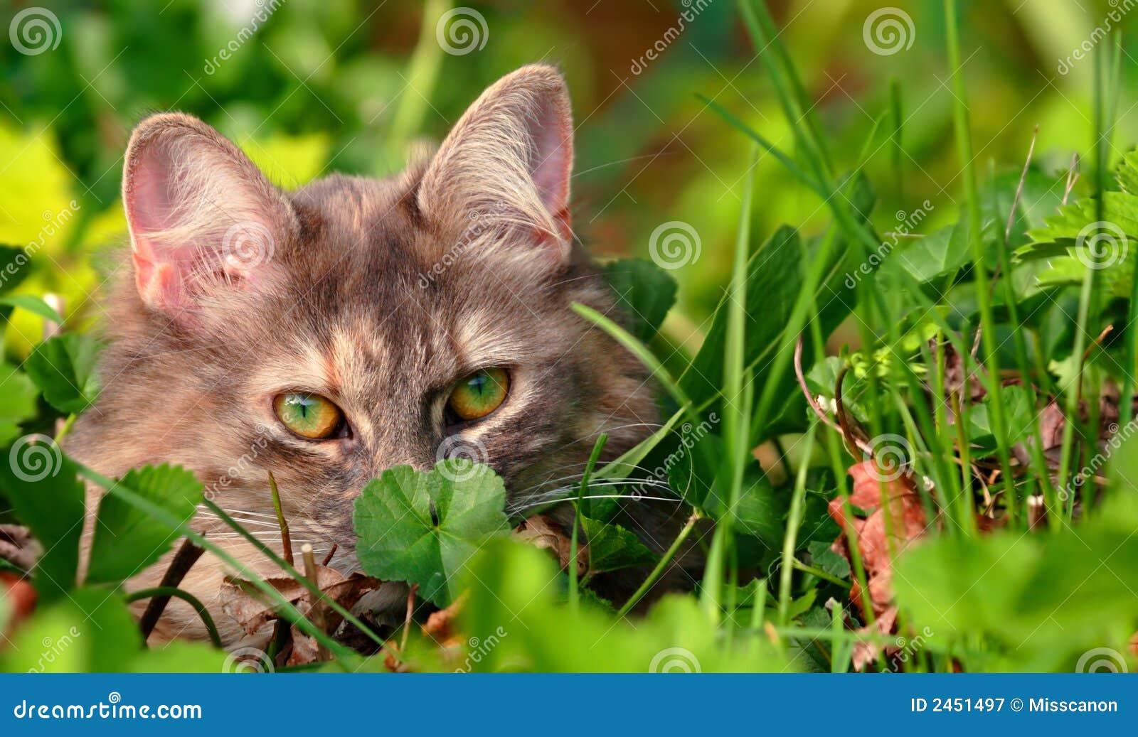 Gato que oculta en hierba verde