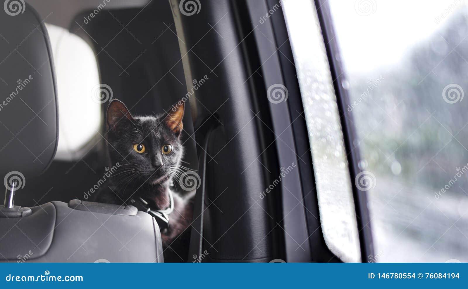 Gato que viaja con el dueño