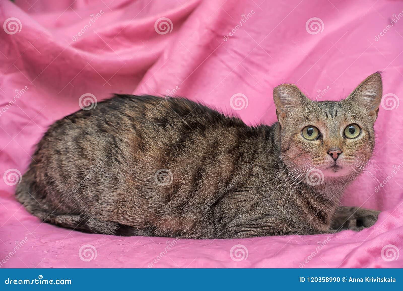 Gato rayado con un oído acortado