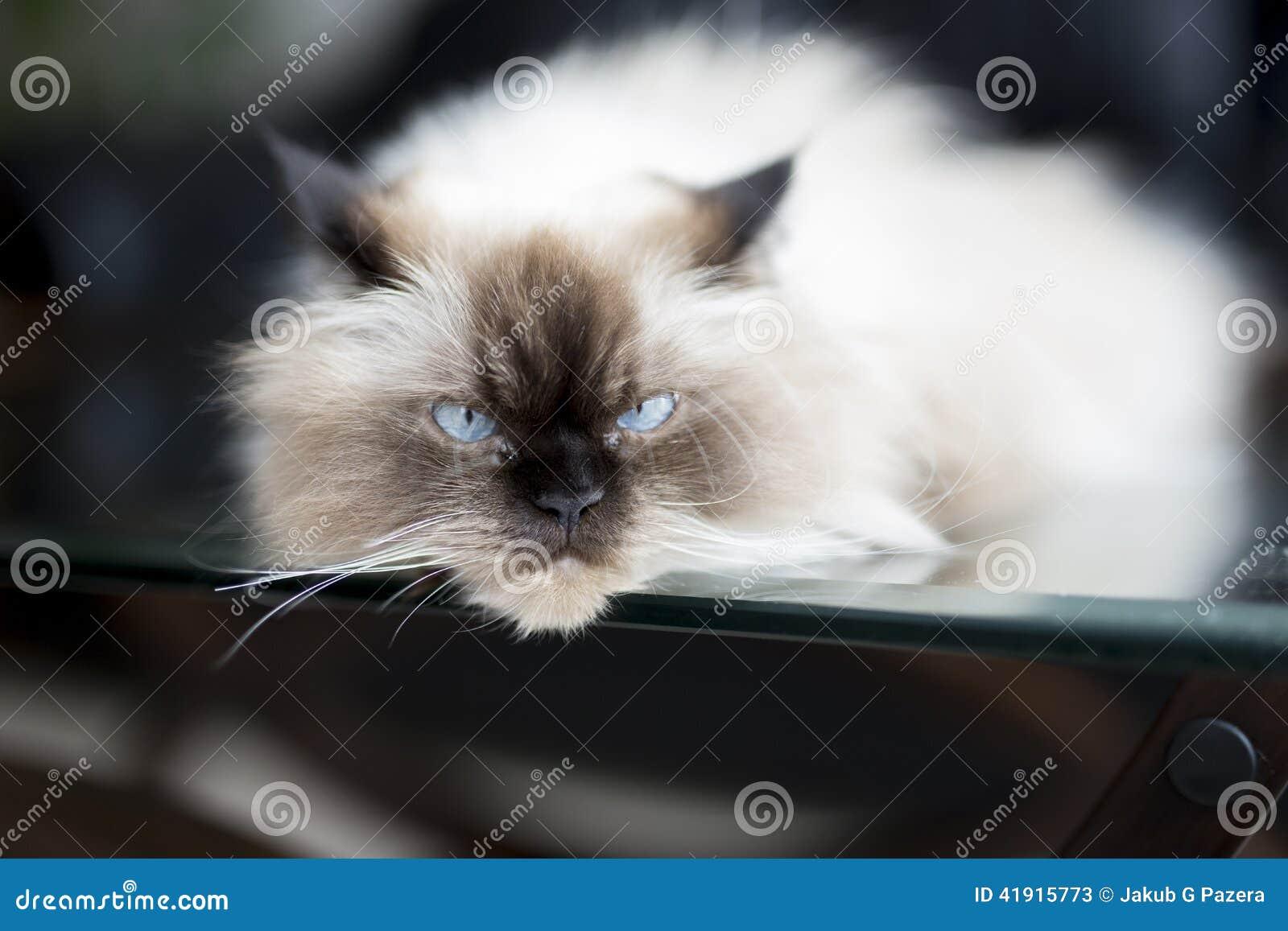 Gato real