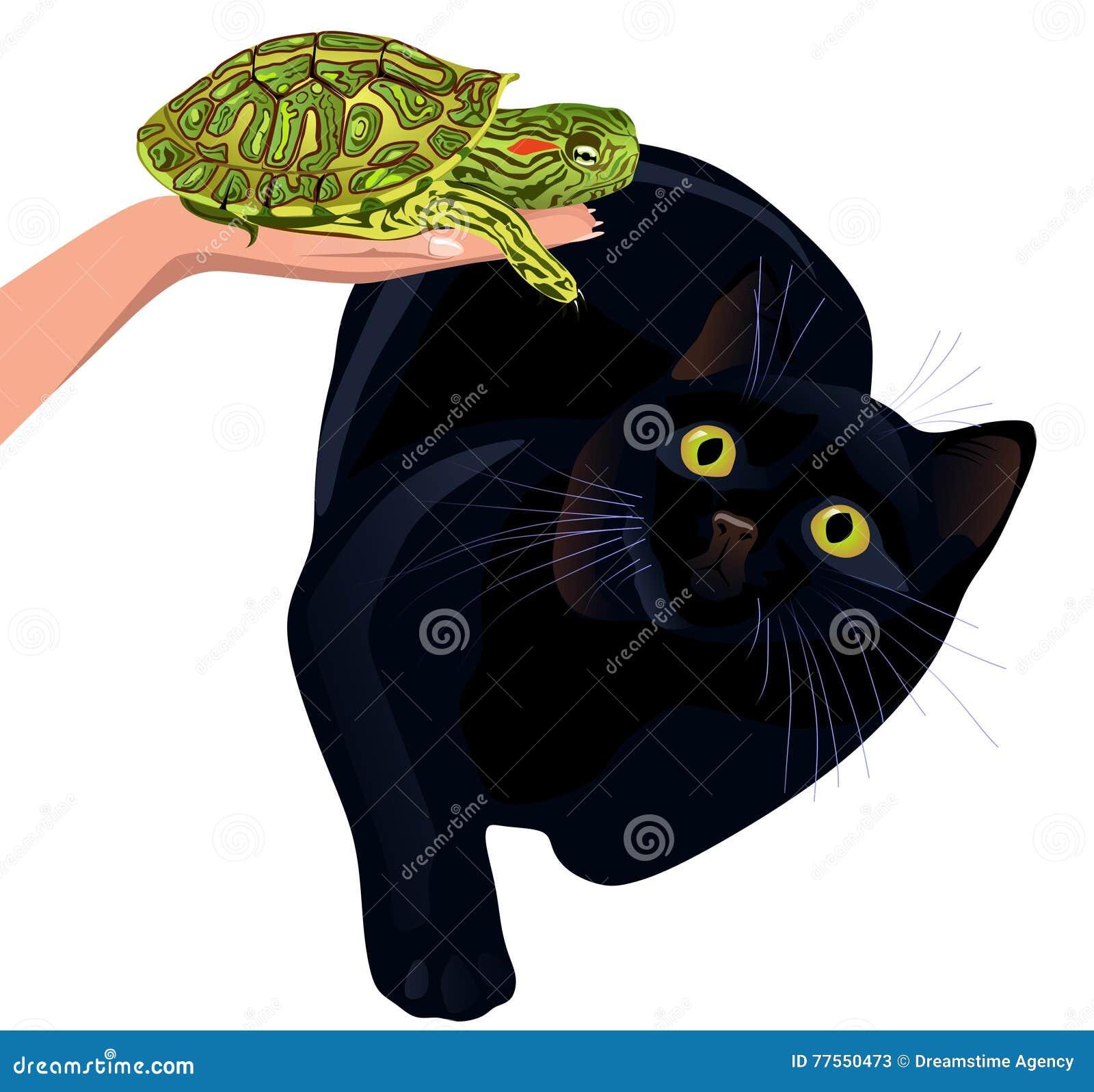 Gato receoso da tartaruga