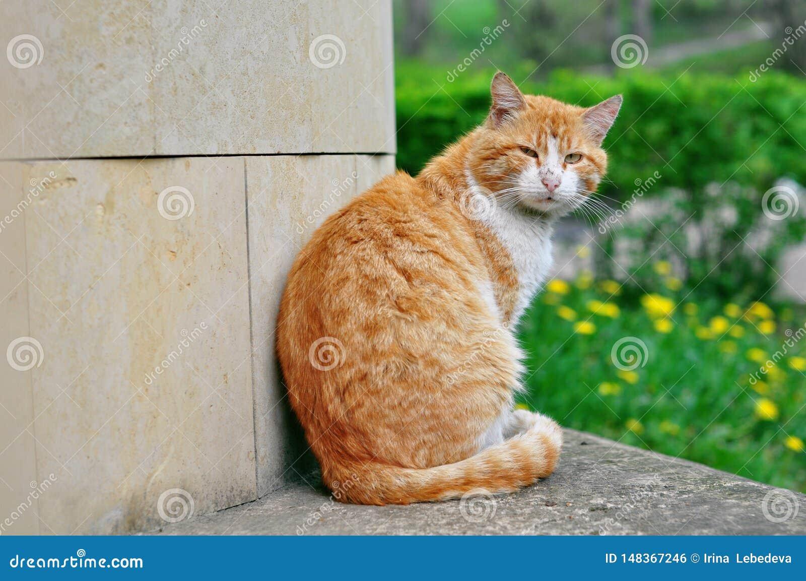 Gato rojo de la calle hermosa