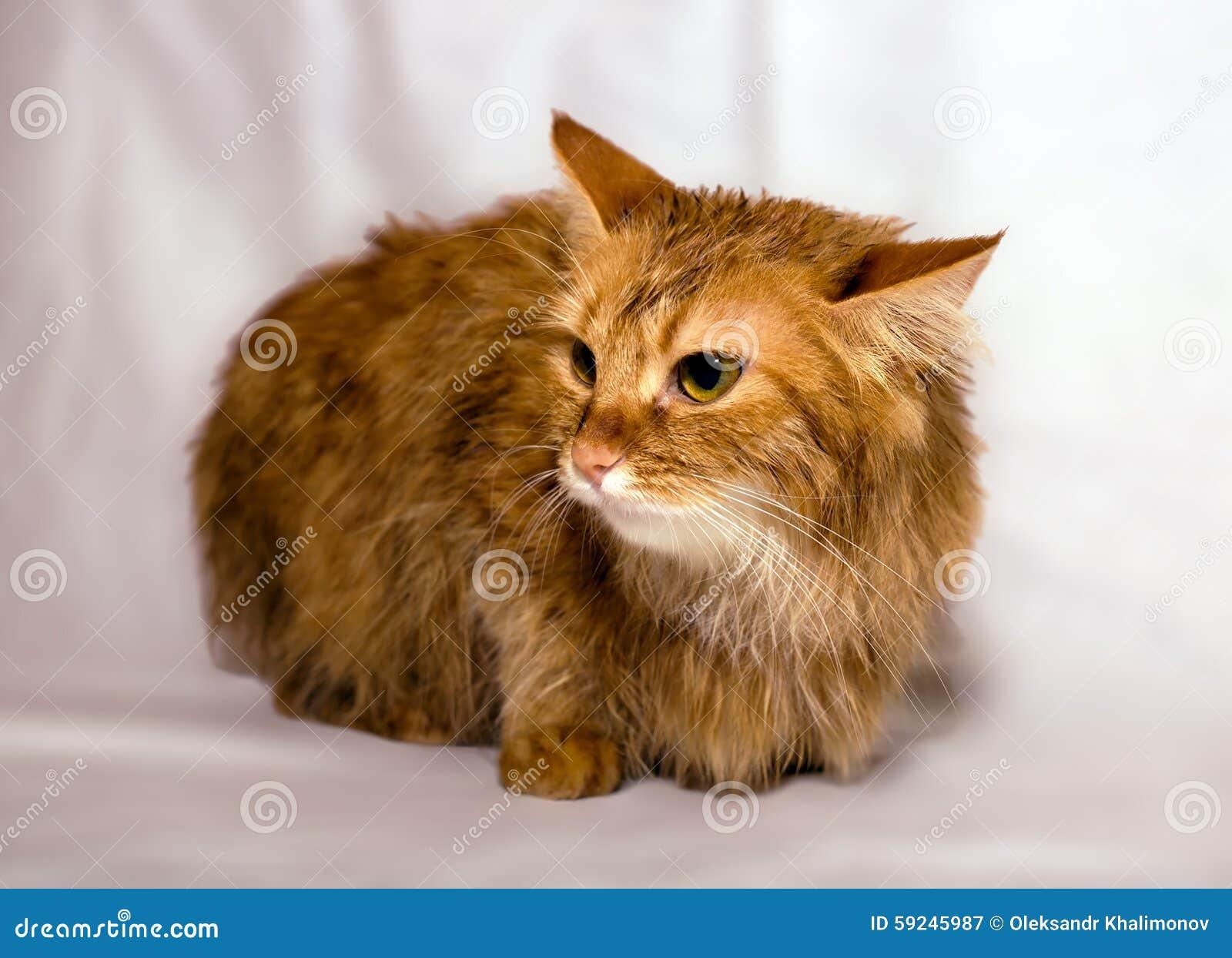 Gato Rojo-dirigido