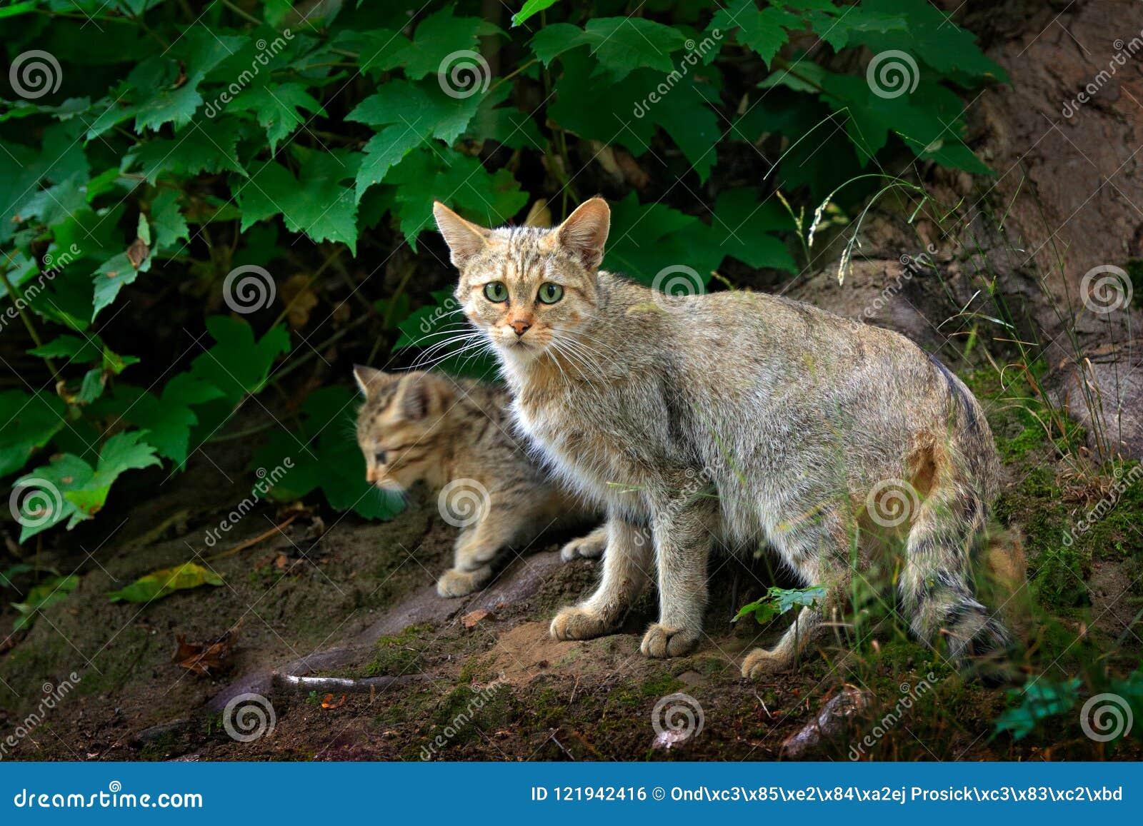 Gato selvagem com filhote, silvestris do Felis, animal no habitat da floresta da árvore da natureza, escondido no tronco de árvor