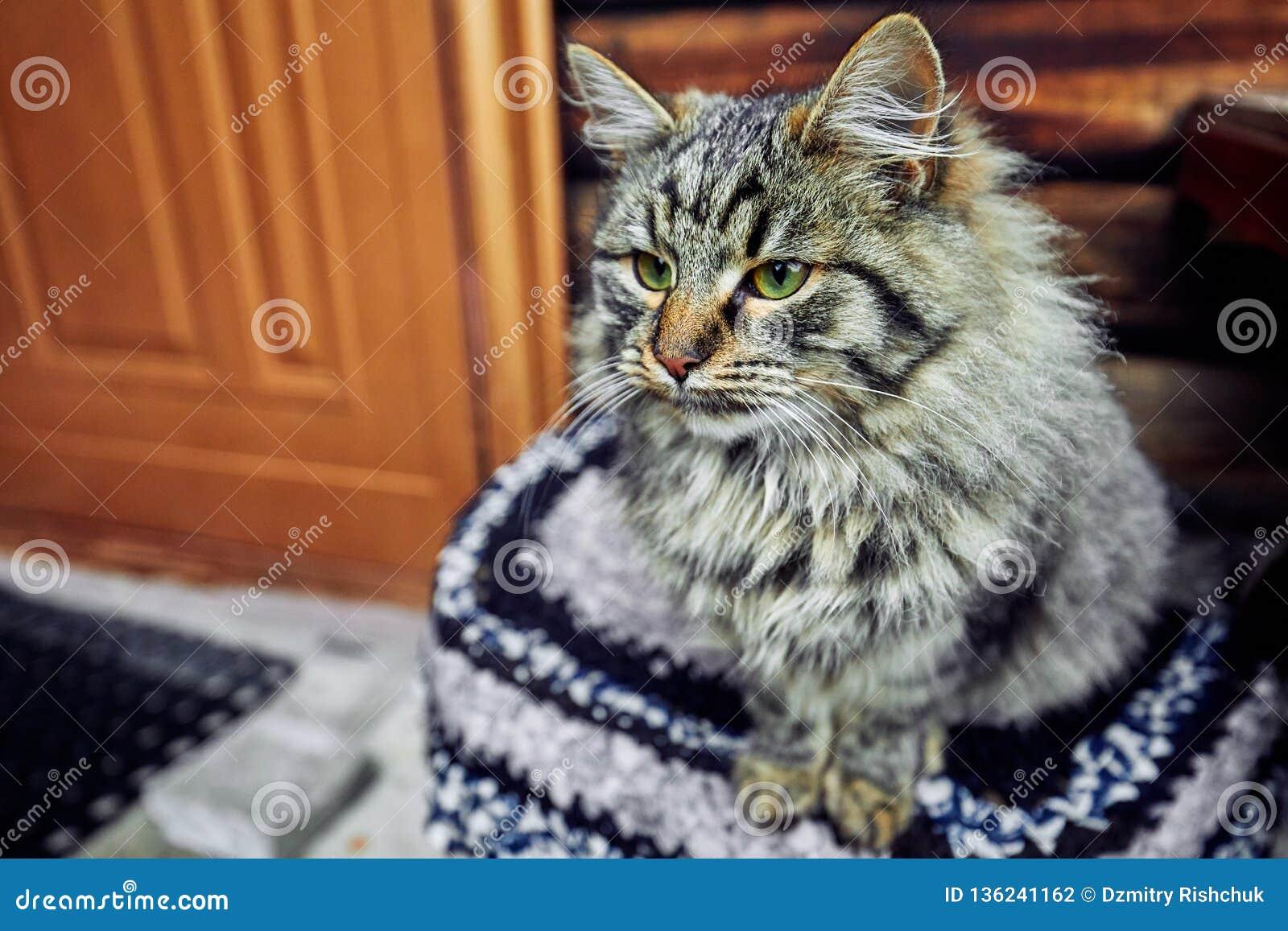 Gato severo e sério que olha restritamente Espera para o anfitrião altivo e o auto-animal de estimação