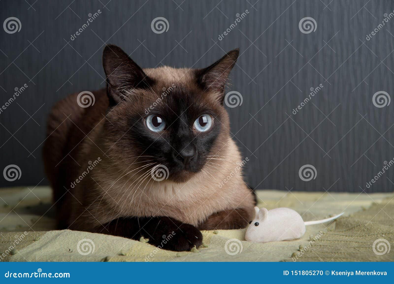 Gato siam?s que mira la c?mara