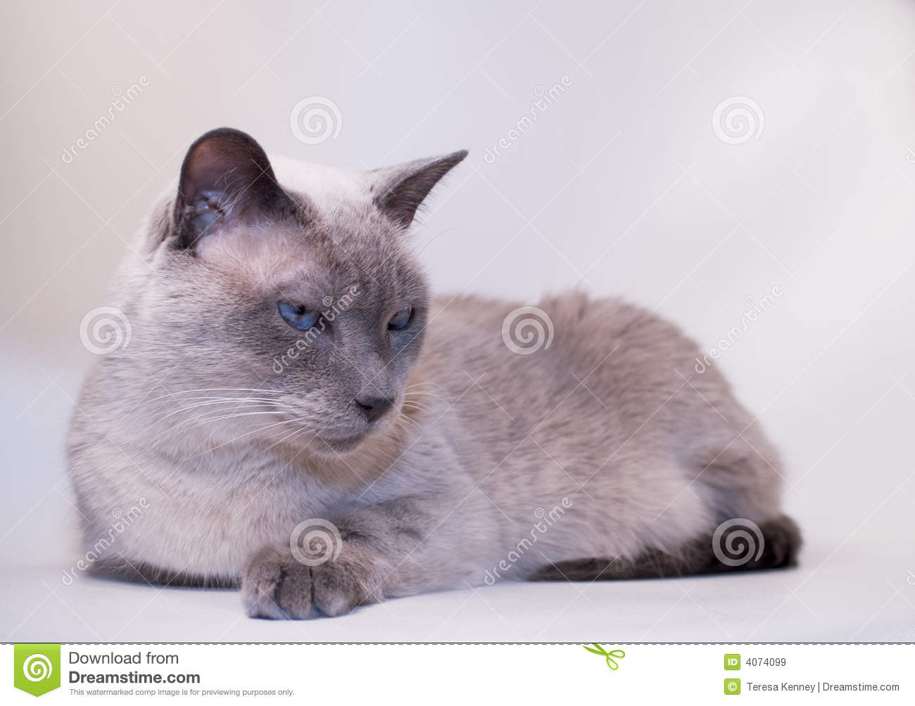 Gato Siamese, Blue-Point
