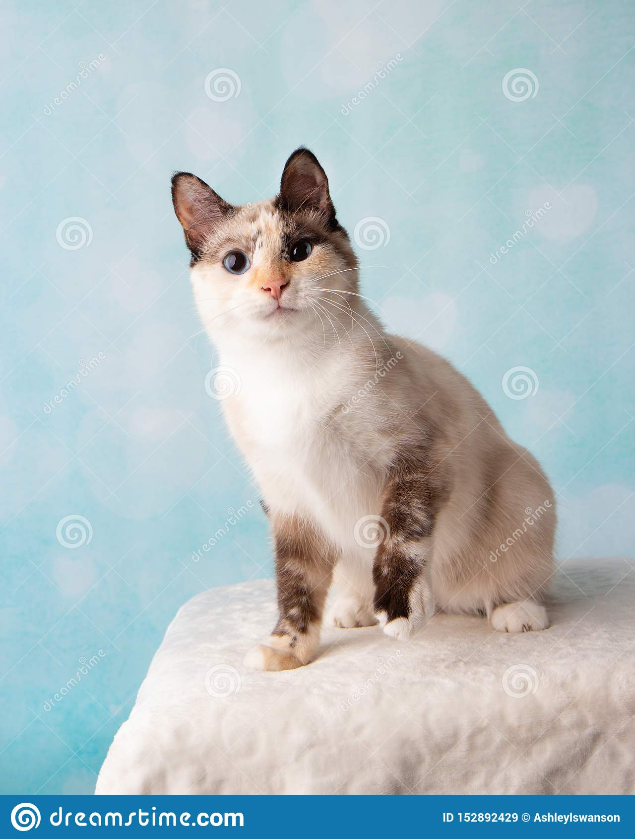 Gato Siamese da mistura no retrato do estúdio